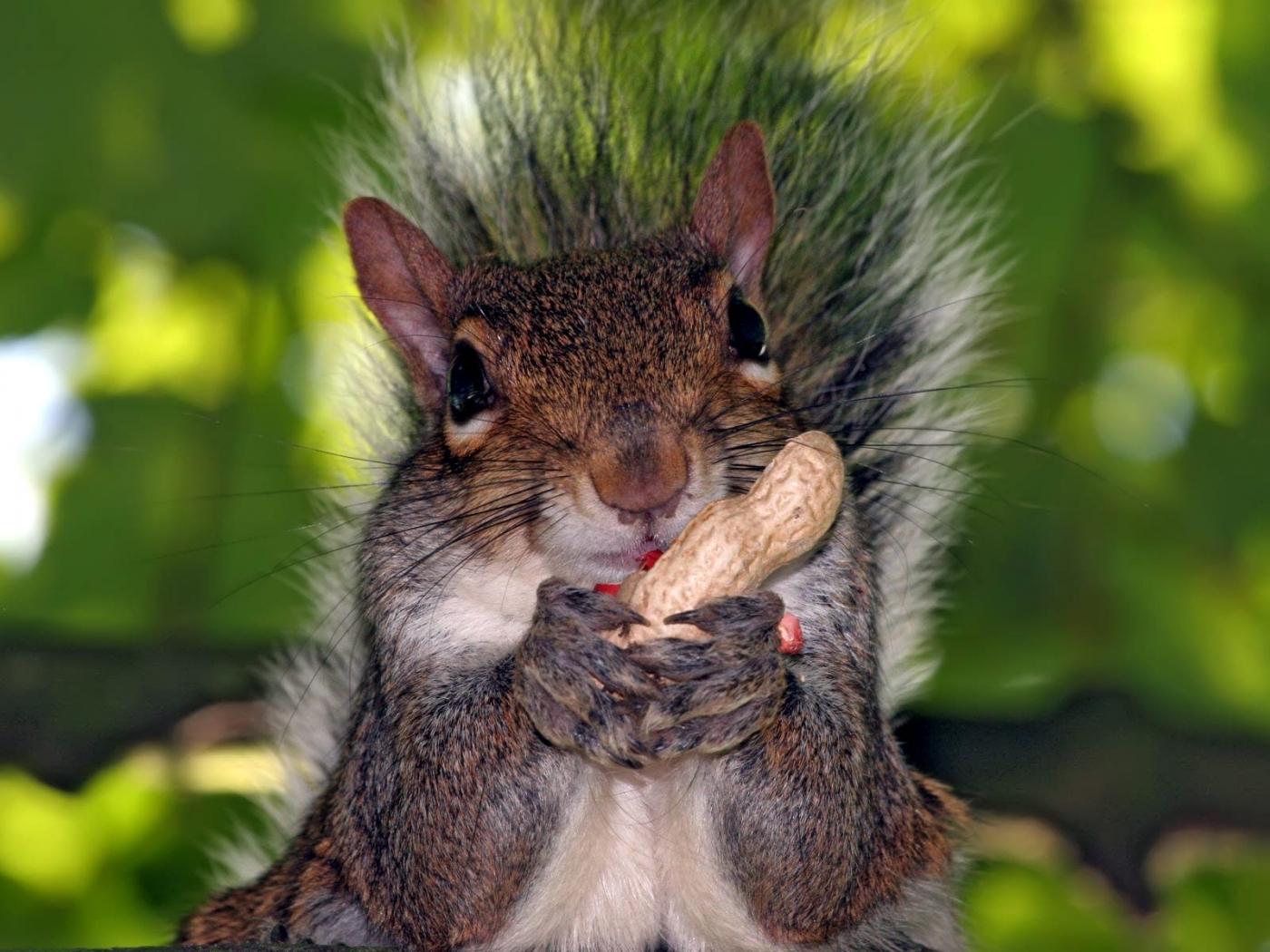 45820 download wallpaper Animals, Squirrel screensavers and pictures for free