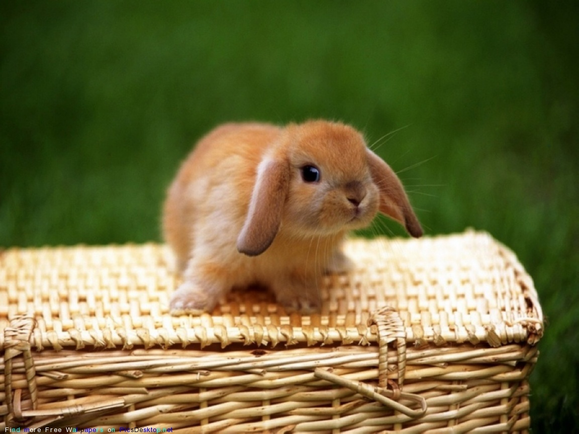 13567 download wallpaper Animals, Rabbits screensavers and pictures for free