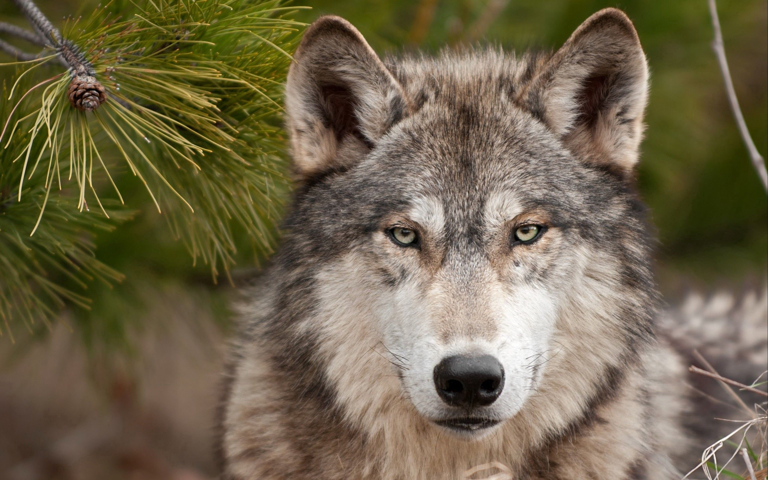 151554 Screensavers and Wallpapers Spruce for phone. Download Animals, Muzzle, Spruce, Fir, Wolf pictures for free