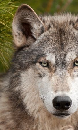151554 download wallpaper Animals, Wolf, Spruce, Fir, Muzzle screensavers and pictures for free