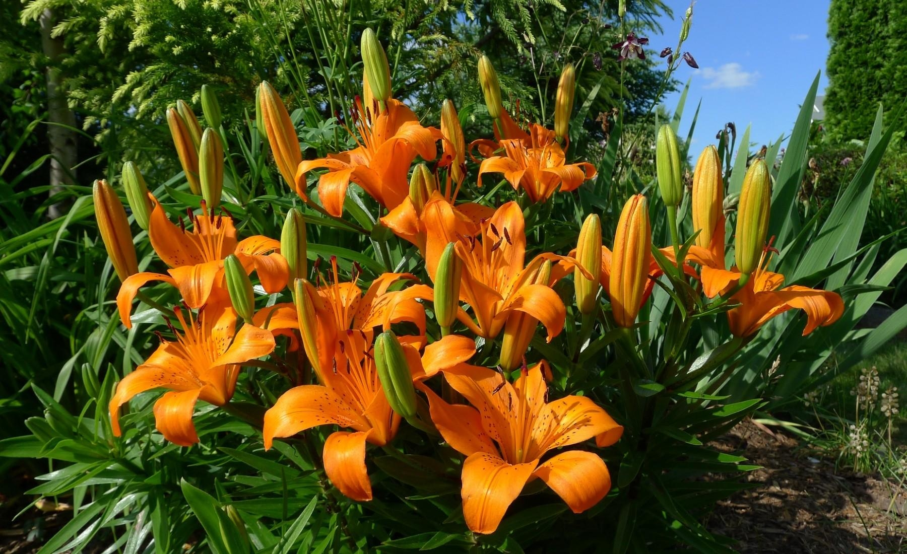 126049 Screensavers and Wallpapers Lilies for phone. Download Flowers, Lilies, Flower Bed, Flowerbed, Sunny pictures for free