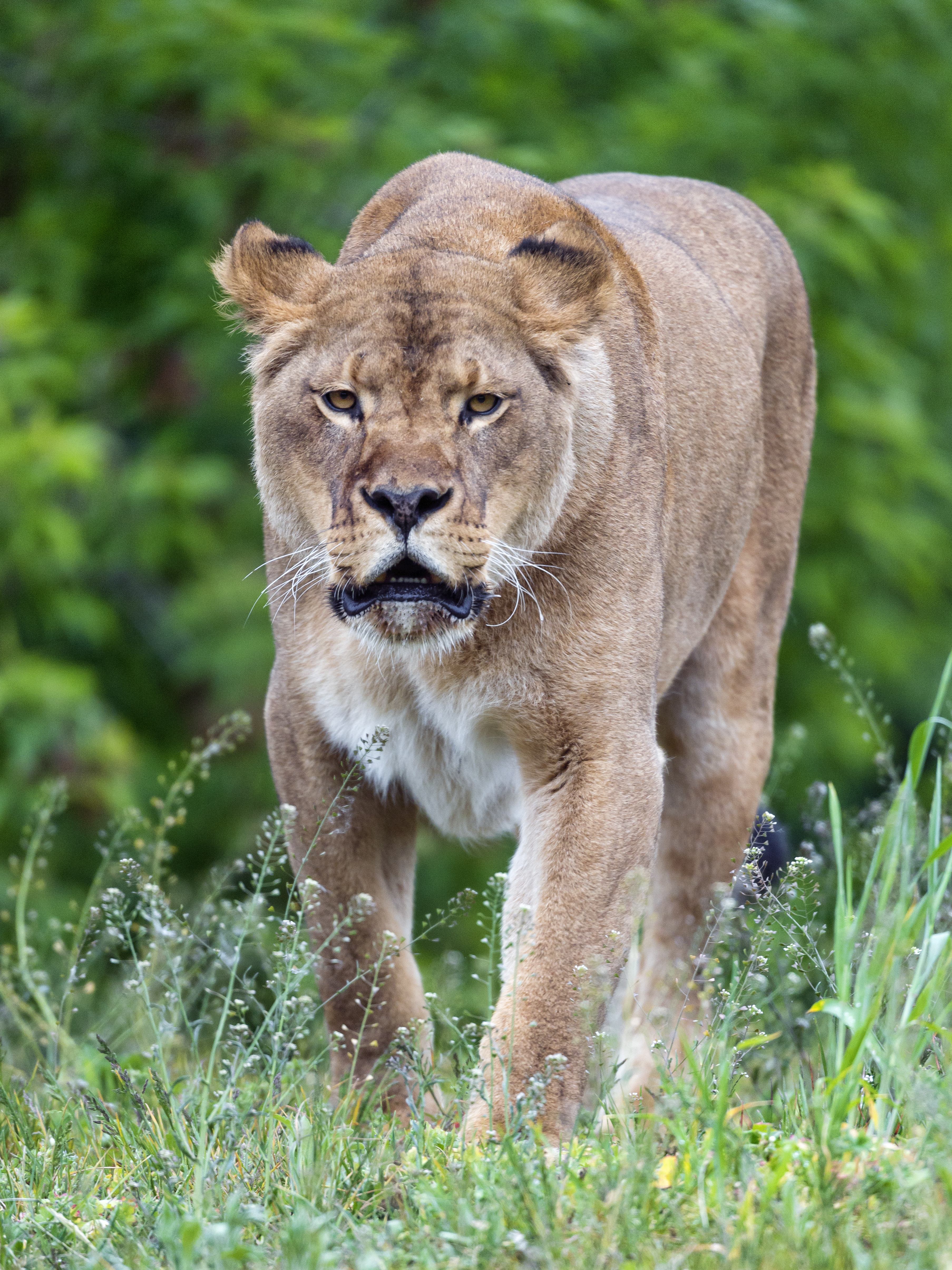 148560 download wallpaper Animals, Lioness, Big Cat, Predator, Wildlife screensavers and pictures for free