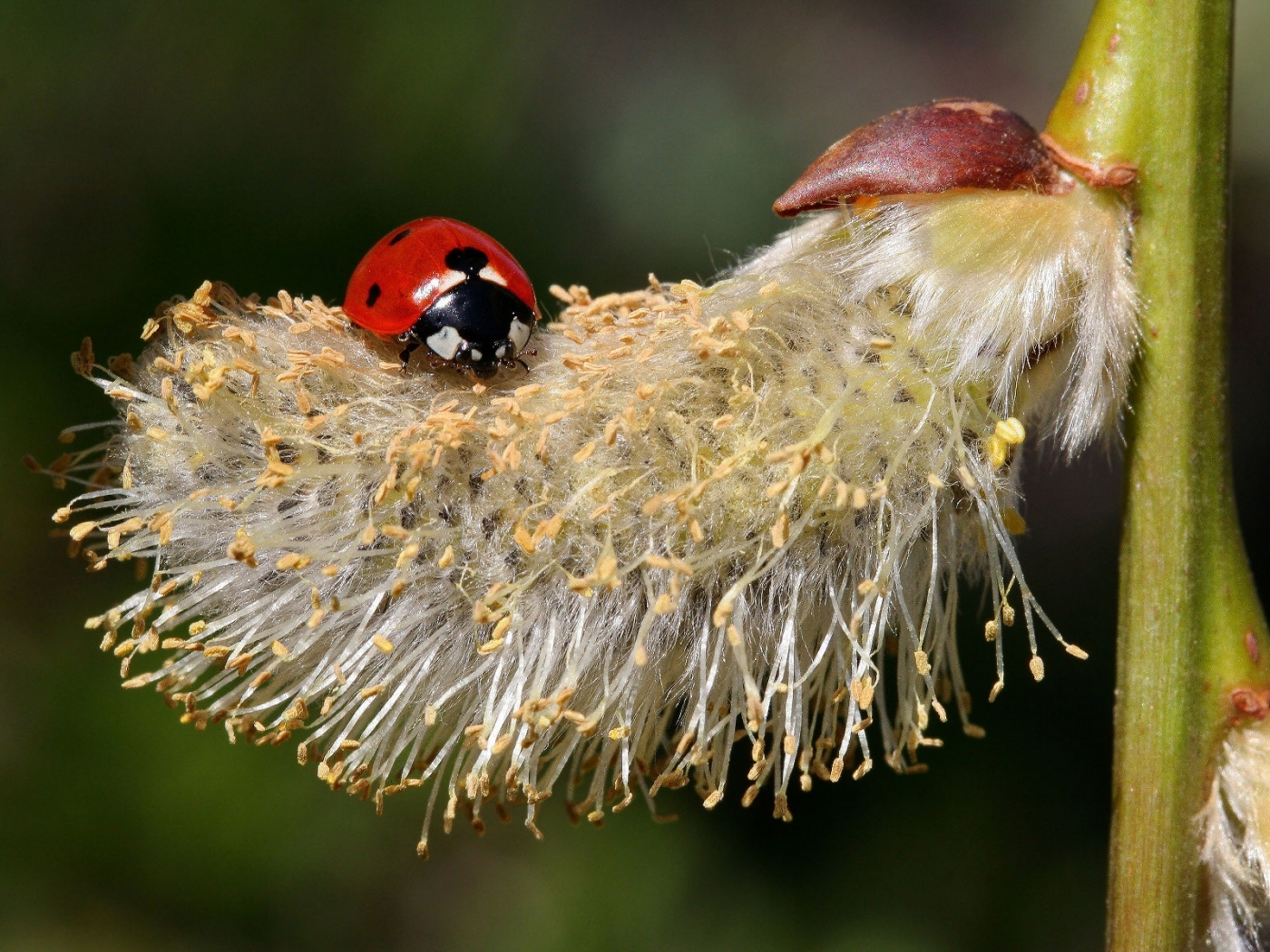28111 download wallpaper Insects, Ladybugs screensavers and pictures for free
