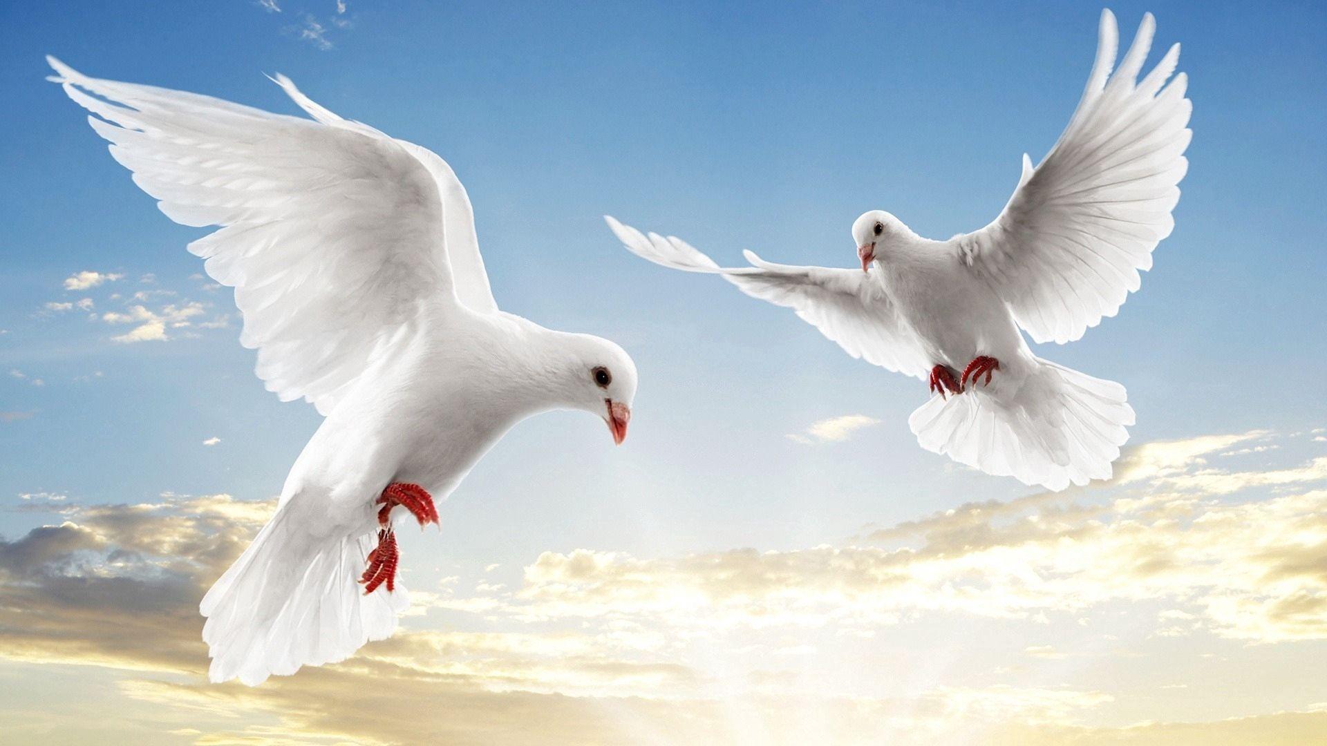 137542 télécharger le fond d'écran Animaux, Pigeons, Coupler, Paire, Vol, Sky, Briller, Lumière - économiseurs d'écran et images gratuitement