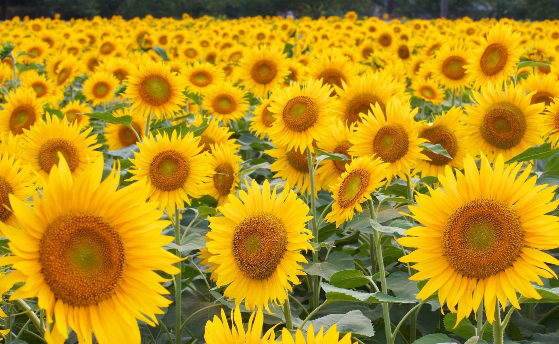 116556 Заставки и Обои Подсолнухи на телефон. Скачать Цветы, Поле, Много, Шляпки, Подсолнухи картинки бесплатно
