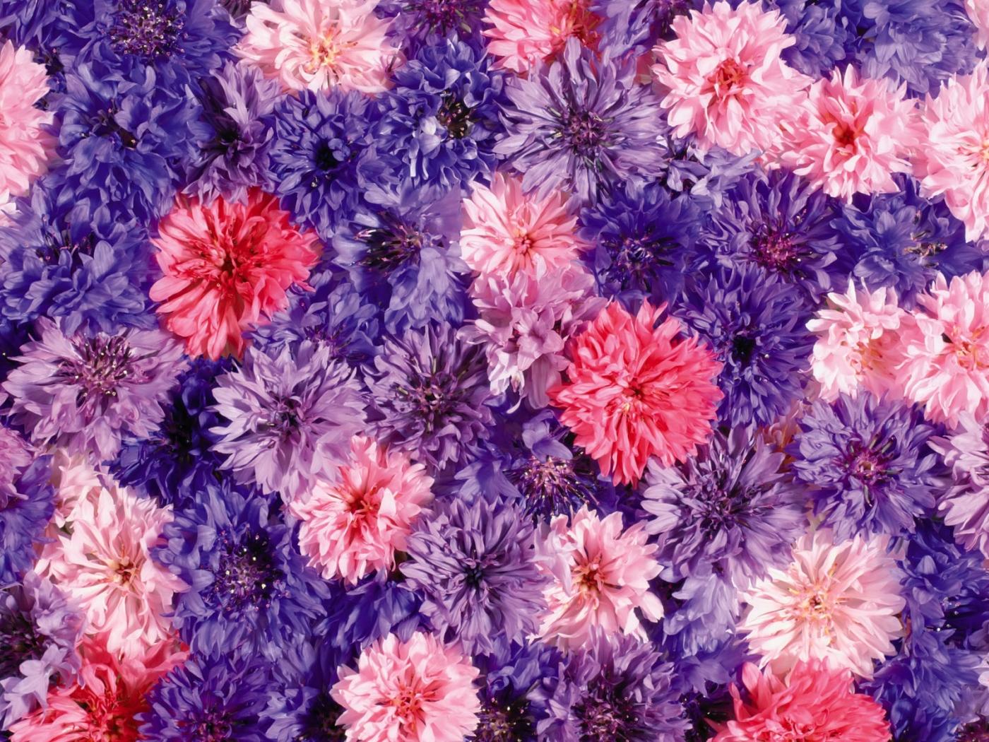 32366 скачать Фиолетовые обои на телефон бесплатно, Растения, Цветы Фиолетовые картинки и заставки на мобильный