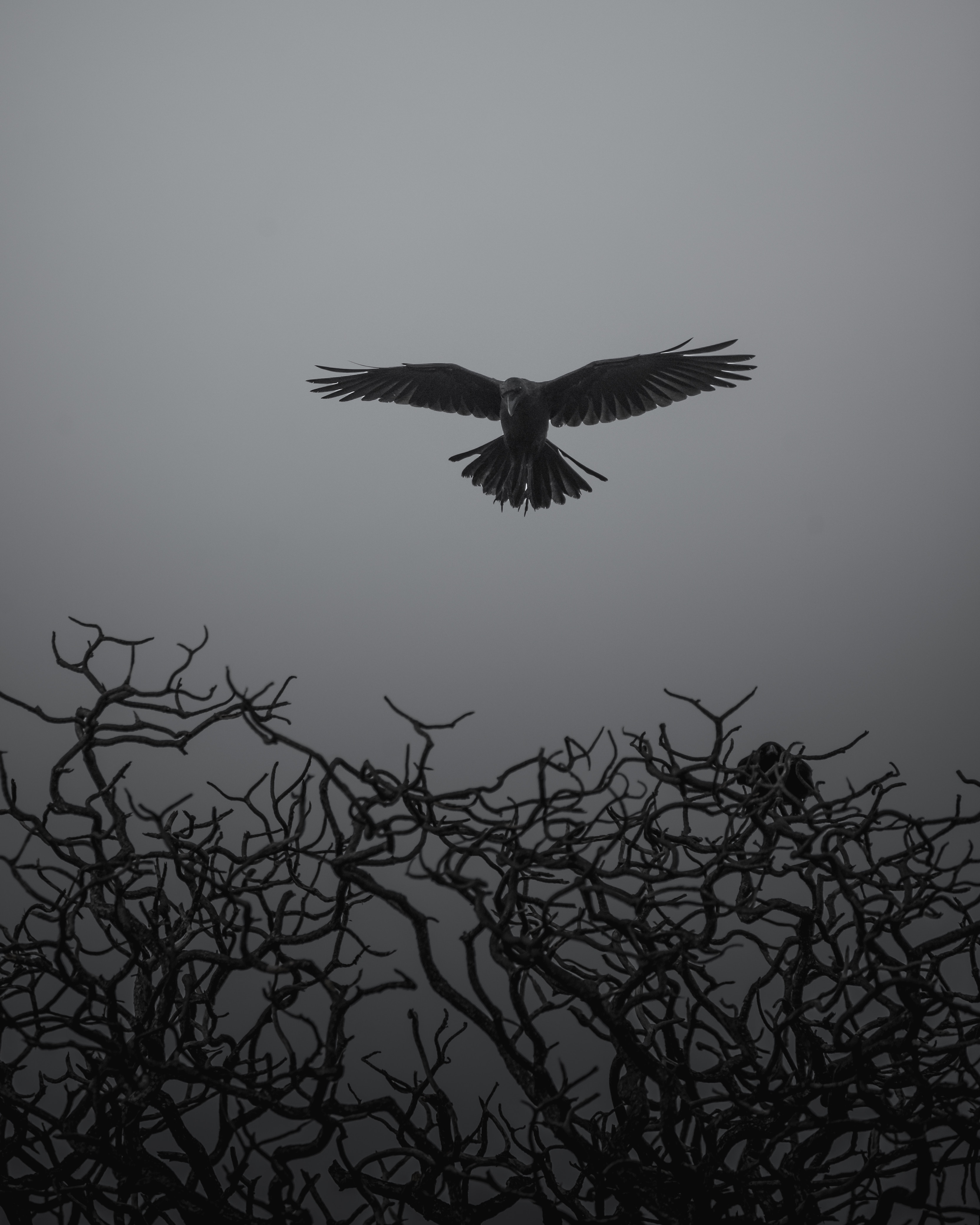 149029 download wallpaper Animals, Crow, Branches, Bw, Chb, Bird, To Fly, Fly screensavers and pictures for free