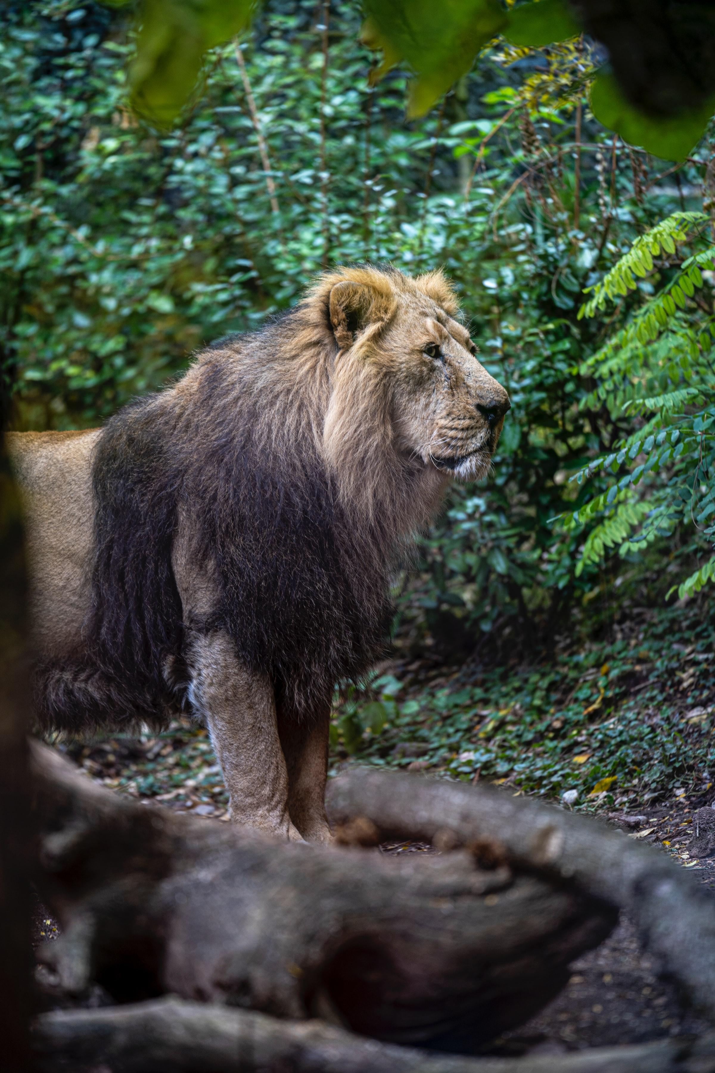 67492 Protetores de tela e papéis de parede Rei Das Feras em seu telefone. Baixe Animais, Leão, Um Leão, Predator, Predador, Gato Grande, Rei Das Feras, Rei Das Bestas, Selvagem fotos gratuitamente