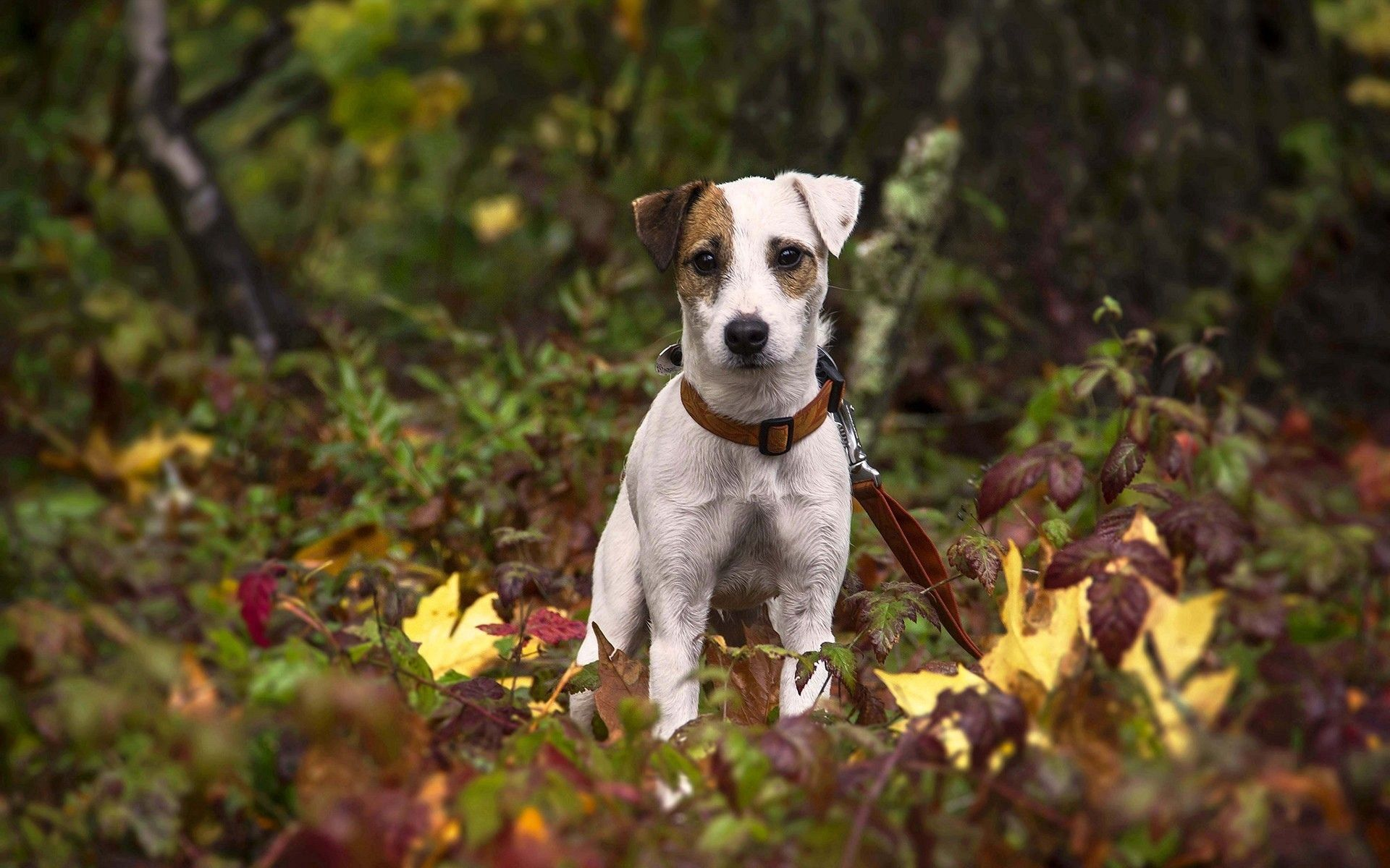 112598 download wallpaper Animals, Dog, Puppy, Grass, Leaves screensavers and pictures for free