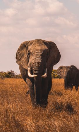 157740 download wallpaper Animals, Stroll, Grass, Elephants screensavers and pictures for free