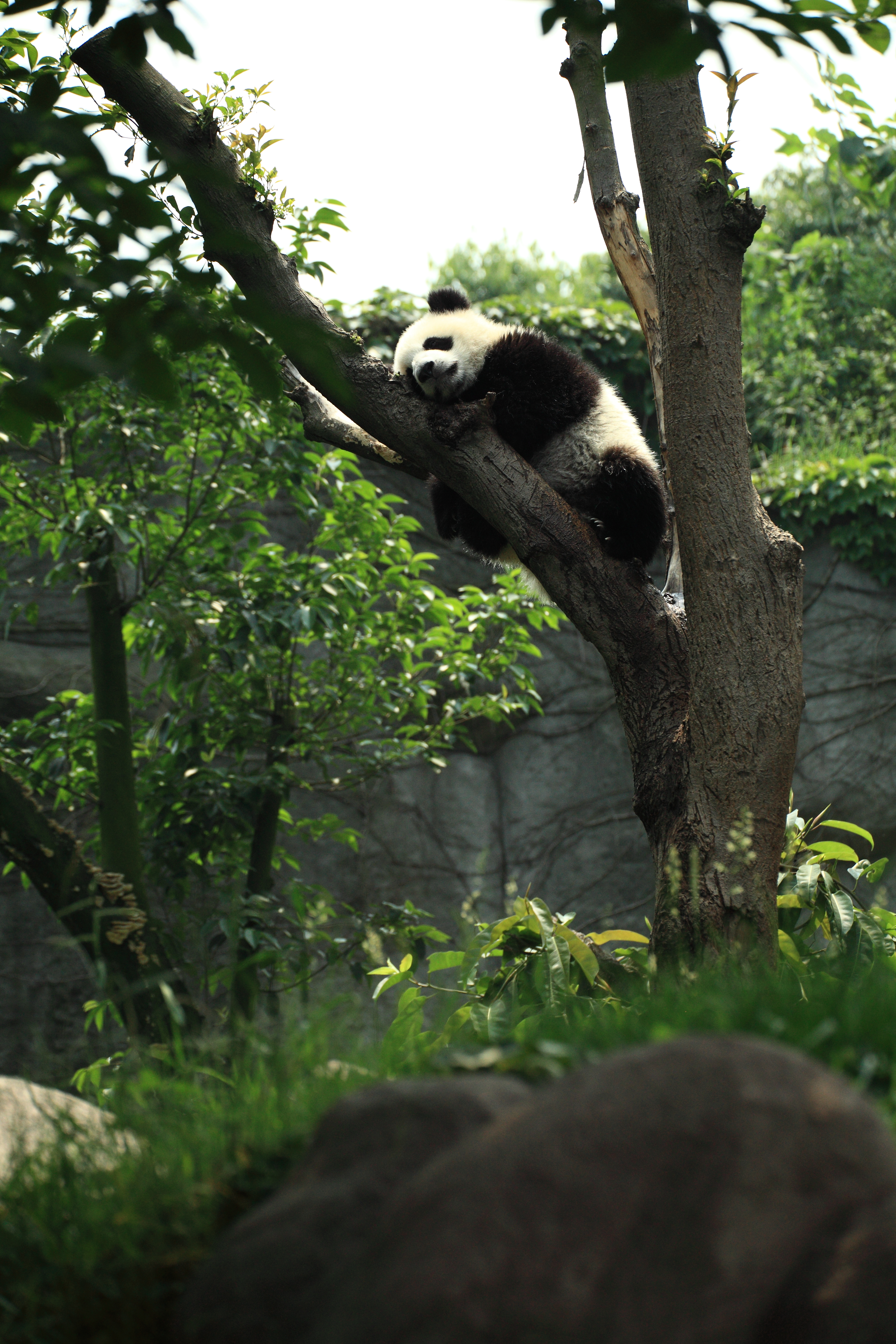 84887 download wallpaper Animals, Panda, Sleep, Dream, Wood, Tree screensavers and pictures for free