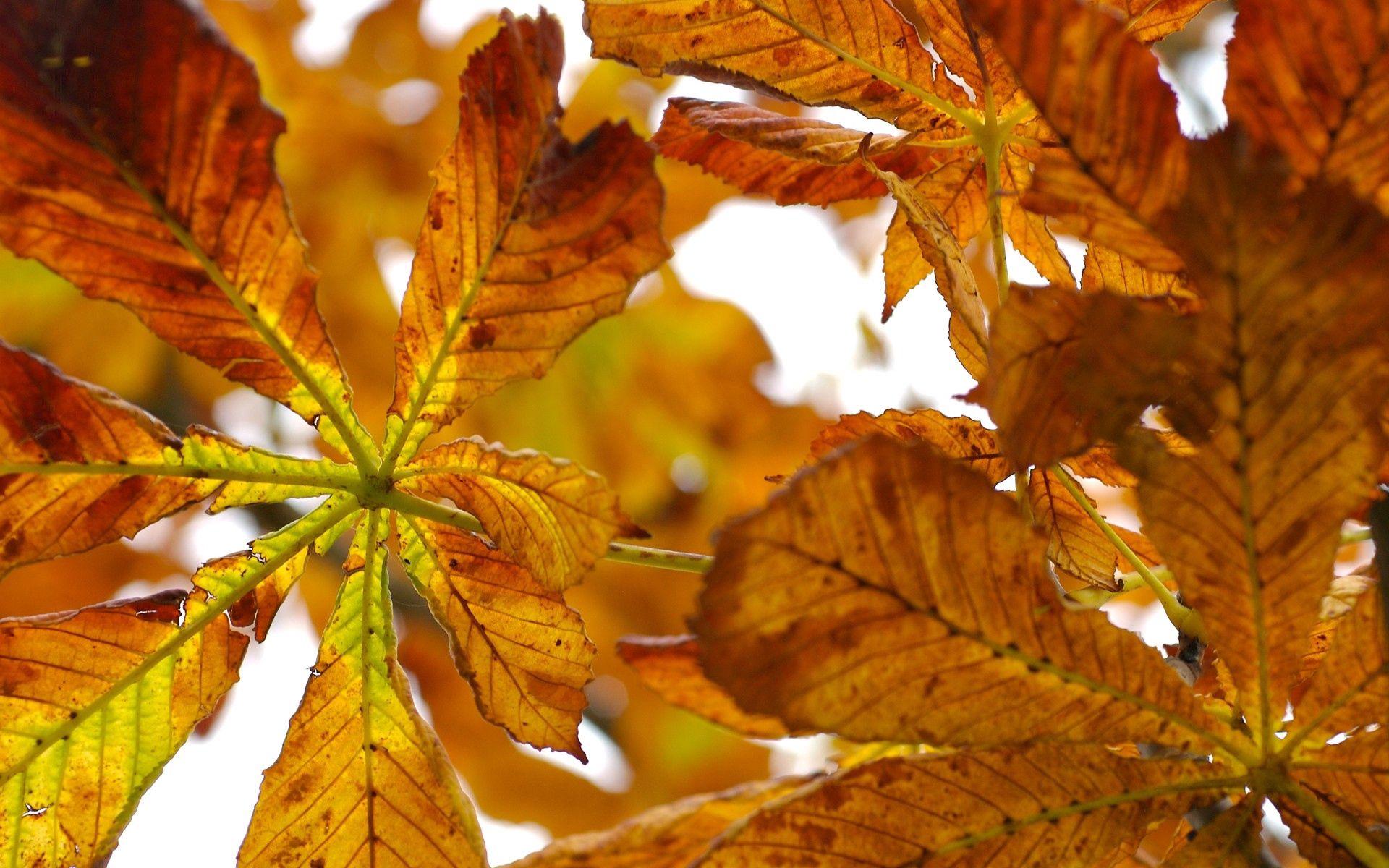 56851 скачать обои Природа, Листья, Осень, Каштан - заставки и картинки бесплатно