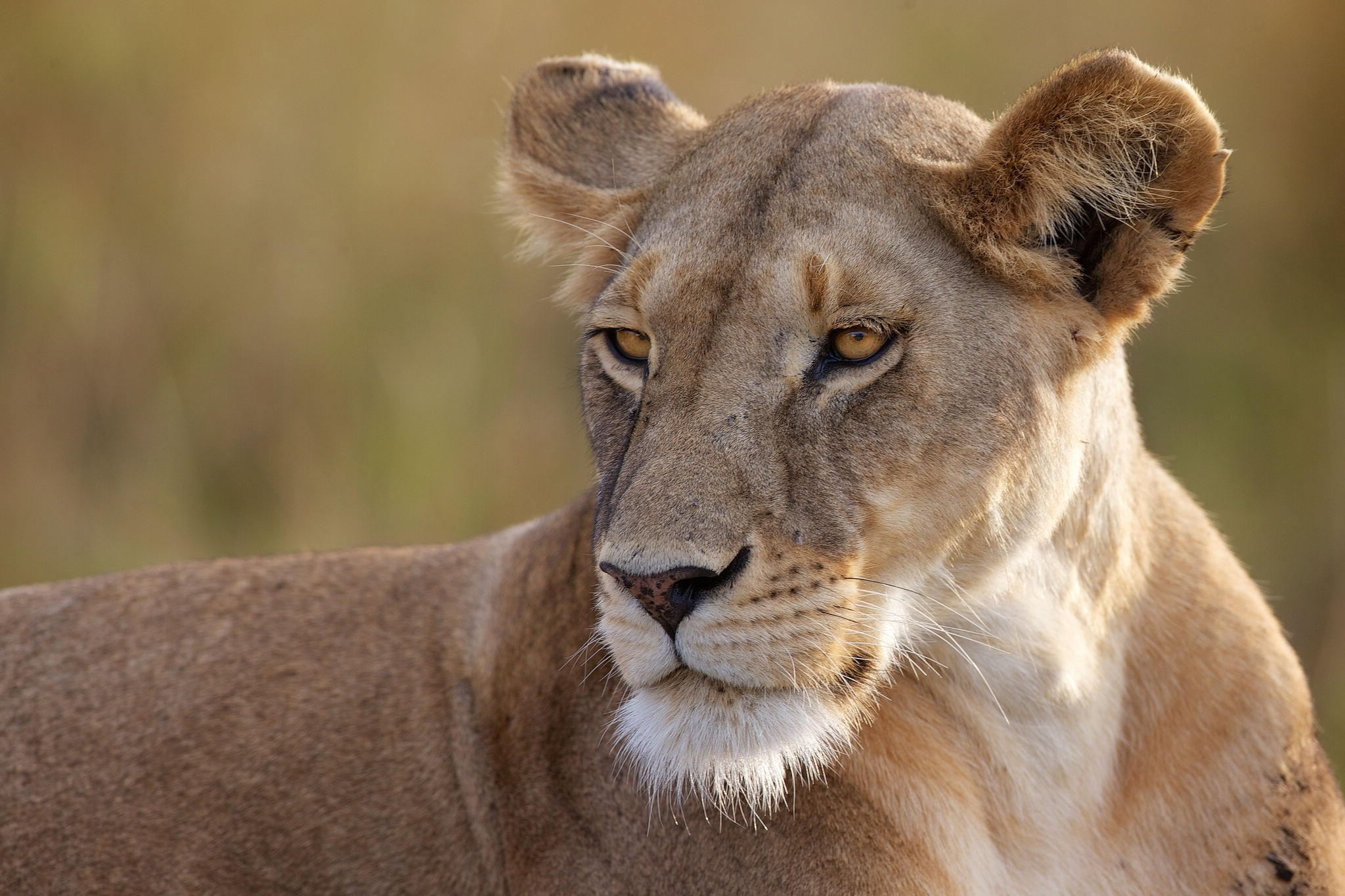 50760 download wallpaper Animals, Lioness, Predator, Big Cat, Sight, Opinion screensavers and pictures for free