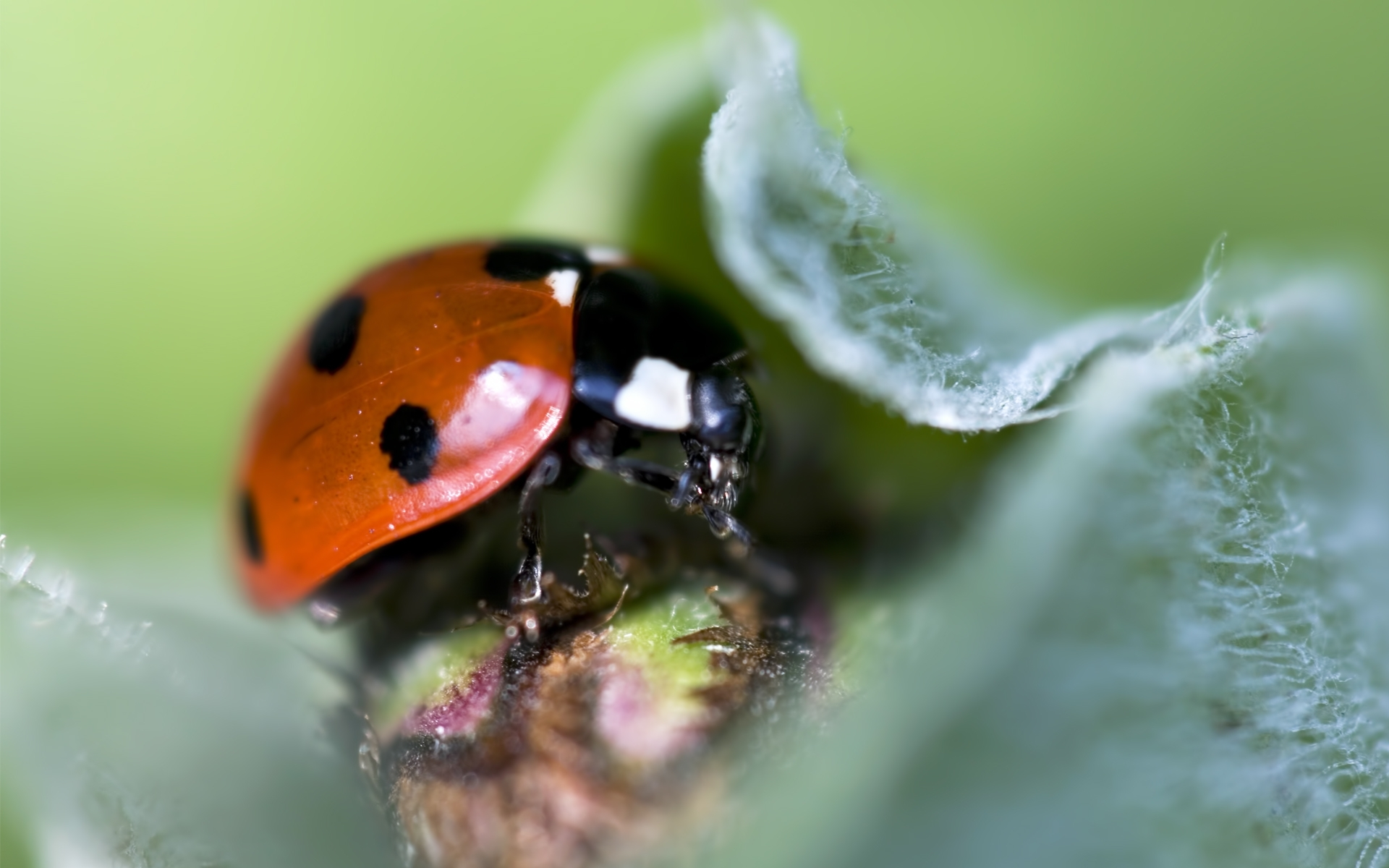 28689 download wallpaper Insects, Ladybugs screensavers and pictures for free