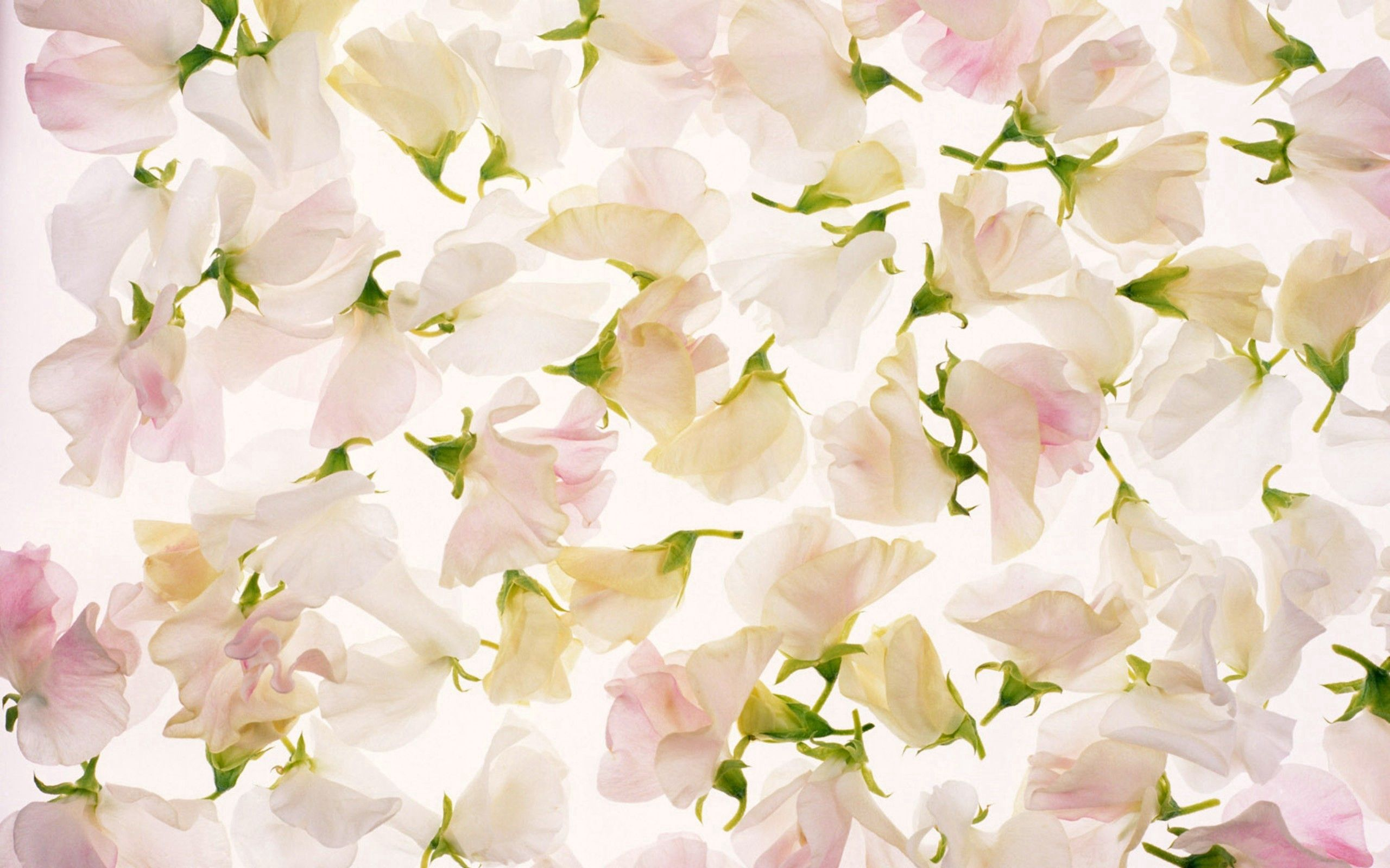 66571 Screensavers and Wallpapers Petals for phone. Download Flowers, Light, Petals, Texture, Textures, Light Coloured, Buds pictures for free