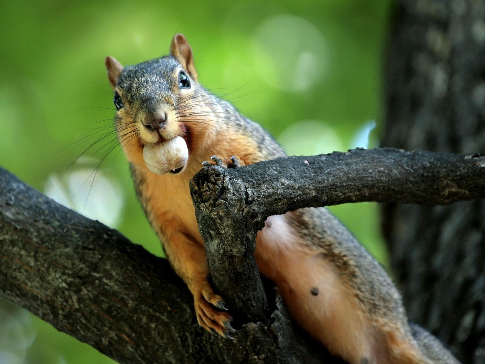 87627 Screensavers and Wallpapers Squirrel for phone. Download Animals, Squirrel, Branches, Climb, Nut, Obtain, To Mine pictures for free