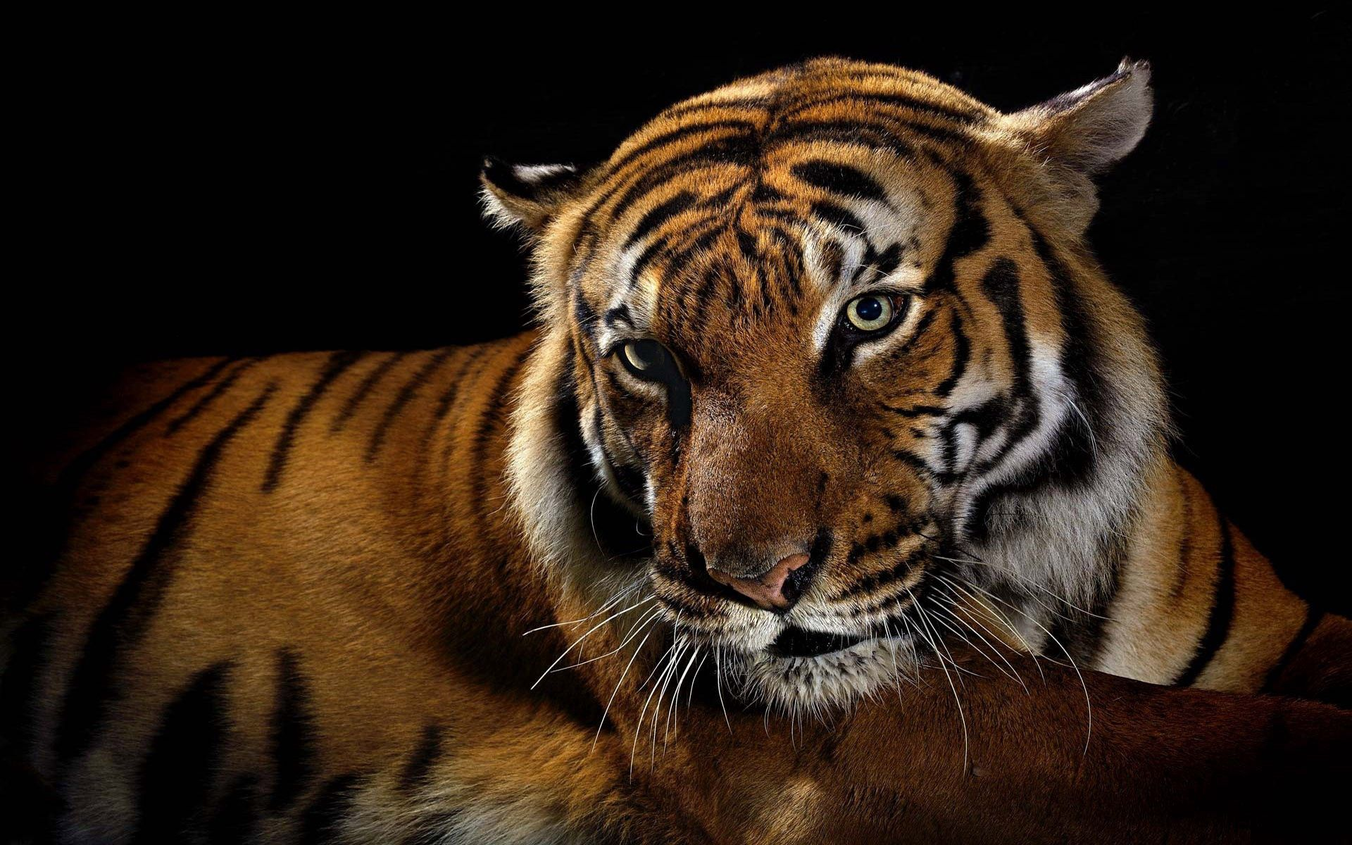 52575 download wallpaper Animals, Tiger, Shadow, Striped, Big Cat screensavers and pictures for free