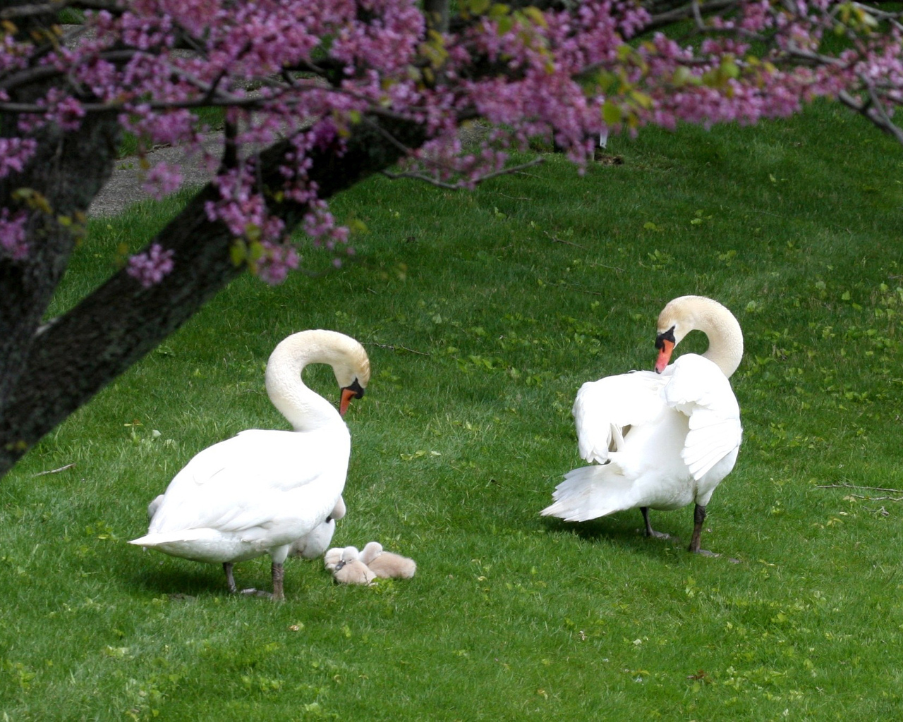 22473 download wallpaper Animals, Birds, Swans screensavers and pictures for free