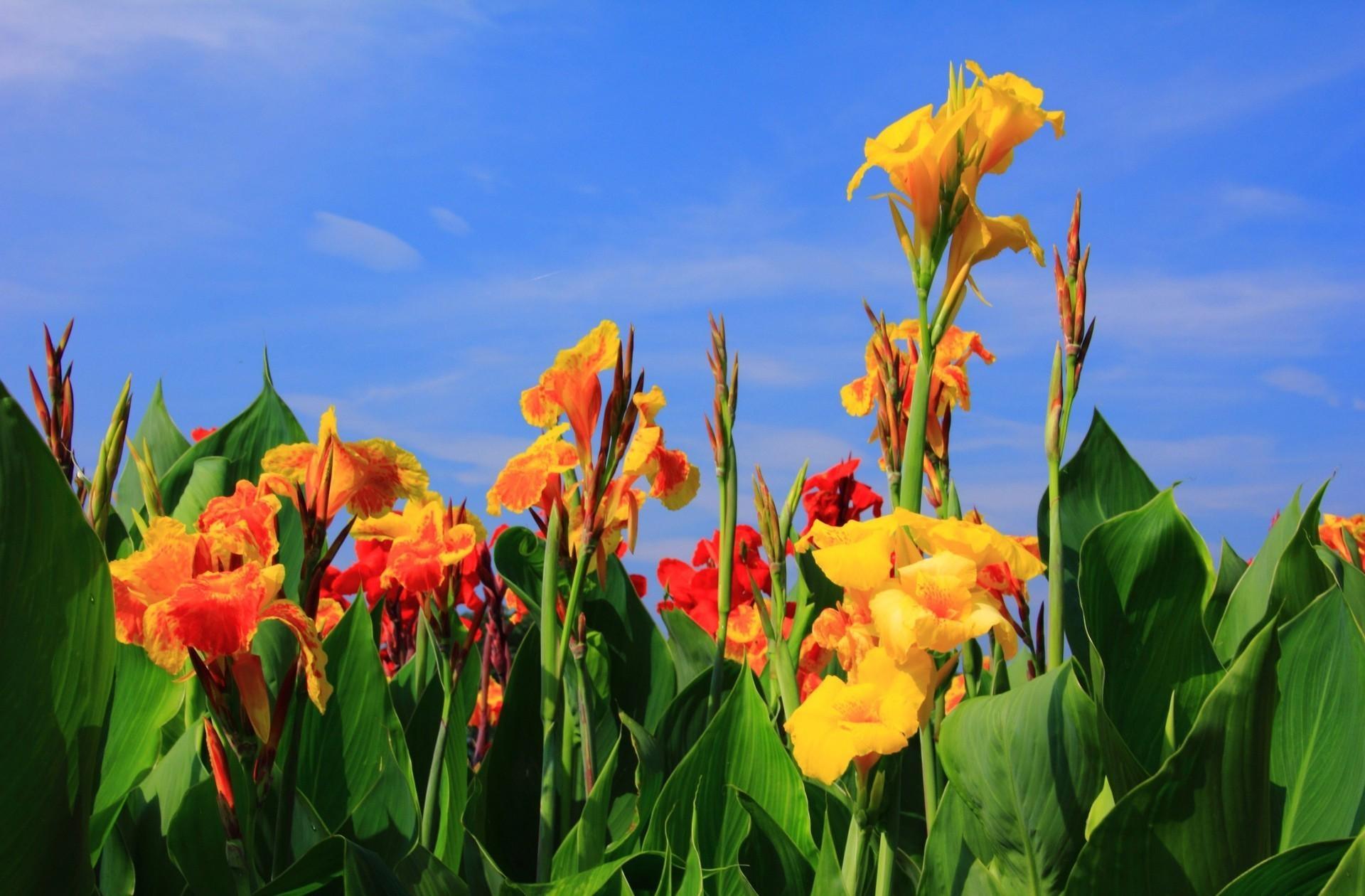 66594 скачать обои Цветы, Бутоны, Небо, Зелень, Гладиолусы - заставки и картинки бесплатно