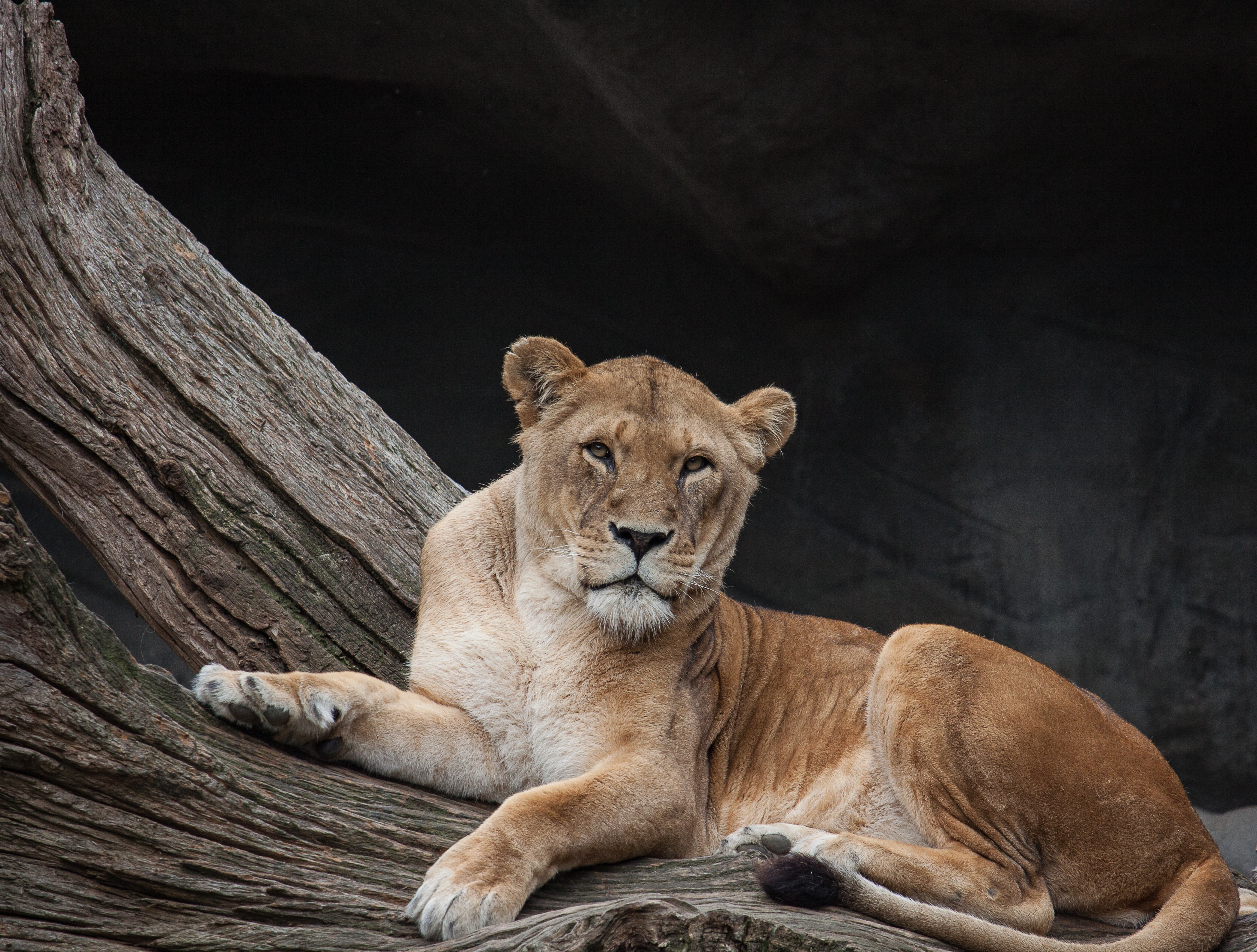124148 download wallpaper Lion, Animals, Lies, Predator, Lioness screensavers and pictures for free