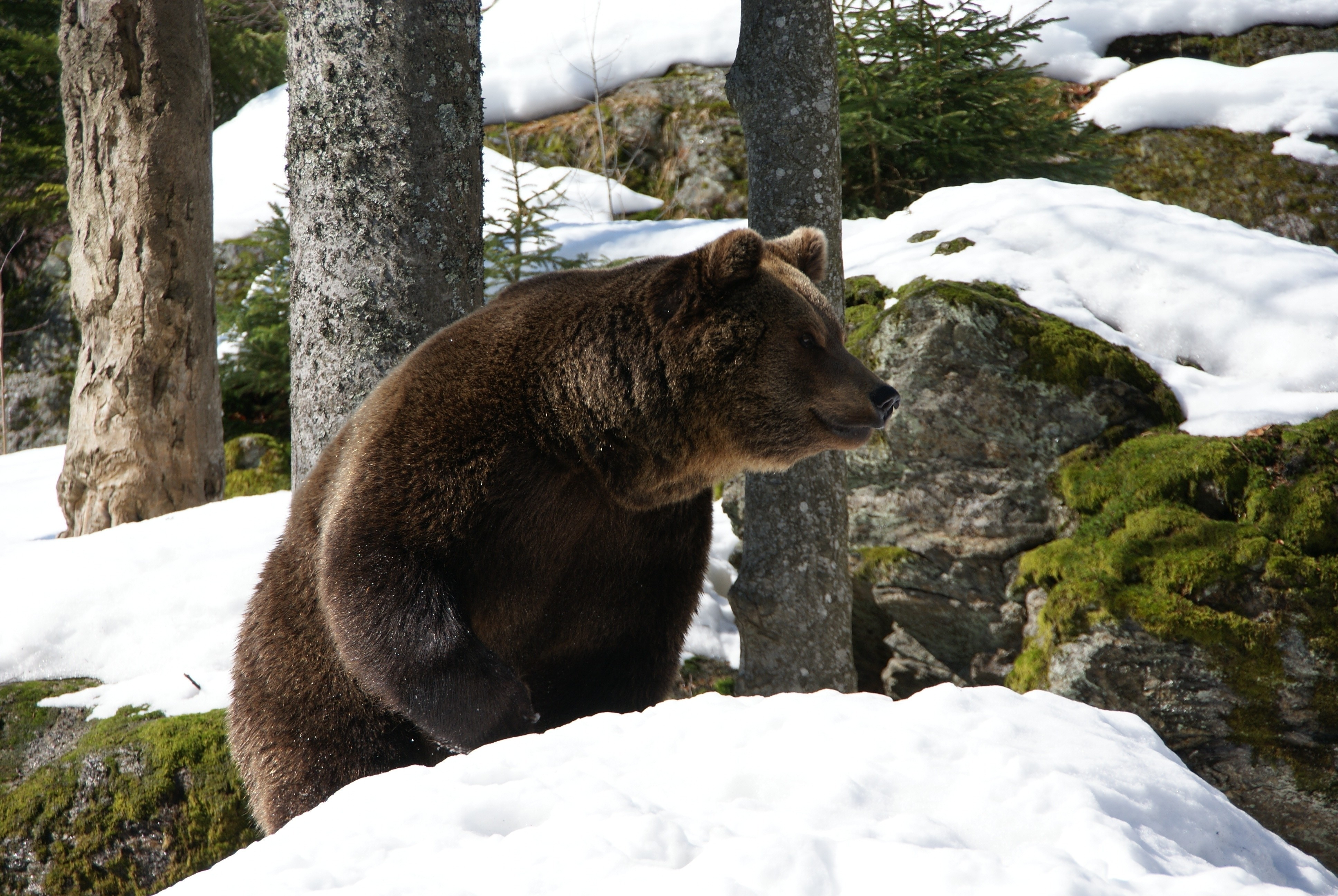 147417 Screensavers and Wallpapers Bear for phone. Download Animals, Winter, Trees, Snow, Bear, Eurasian Bear pictures for free
