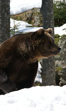 147417 download wallpaper Animals, Eurasian Bear, Bear, Winter, Snow, Trees screensavers and pictures for free