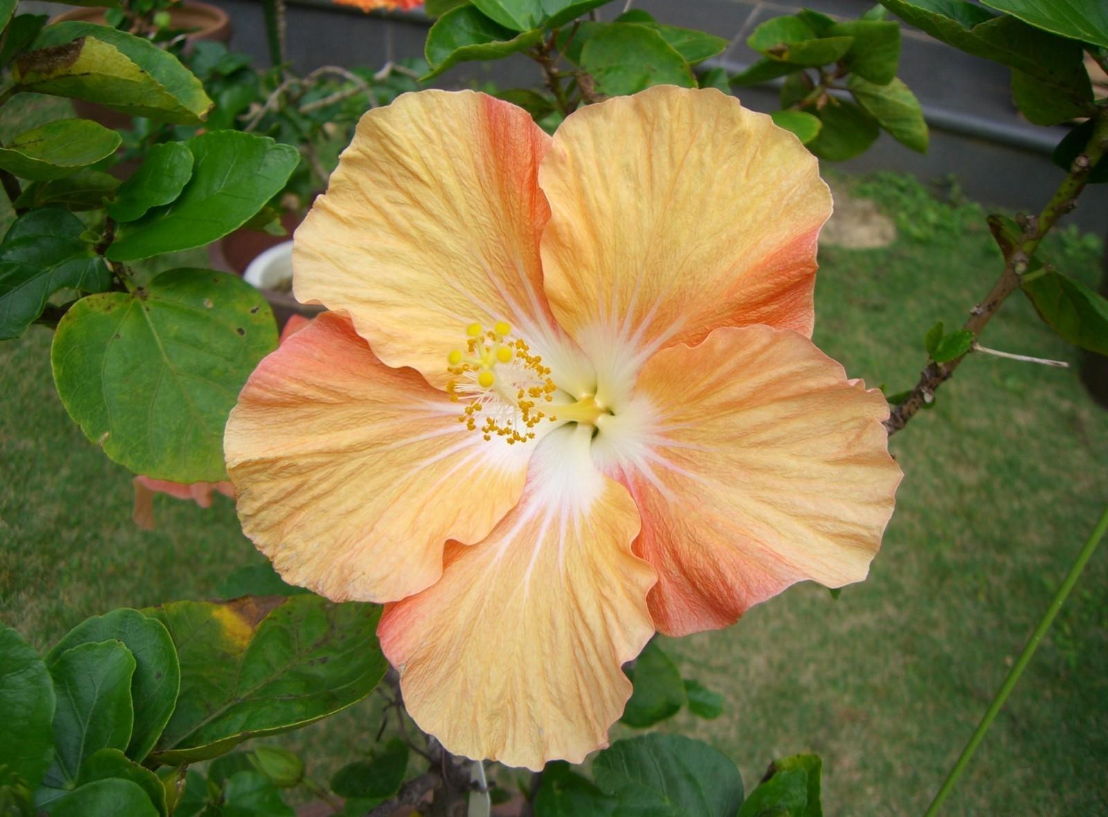 90793 скачать обои Цветы, Гибискус, Цветение, Двухцветный, Ветка, Листья - заставки и картинки бесплатно