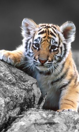 30333 download wallpaper Animals, Tigers screensavers and pictures for free