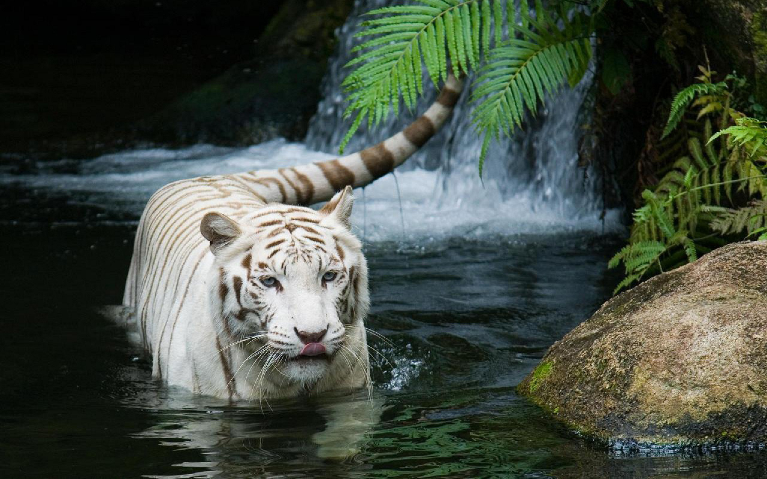 44645 download wallpaper Animals, Tigers screensavers and pictures for free