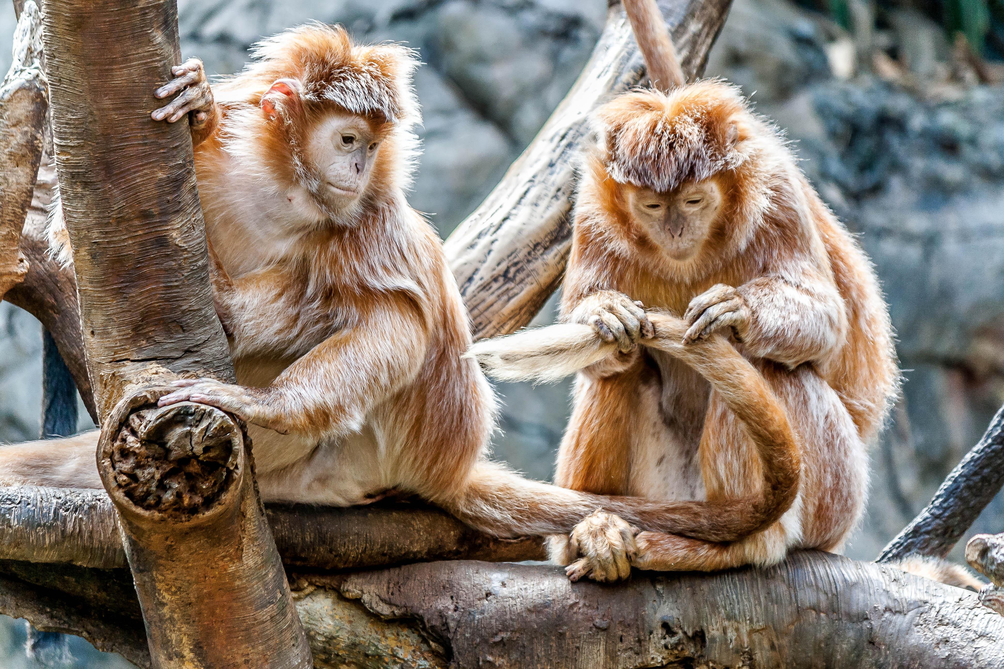 Kostenlose Monkeys HD-Bilder herunterladen