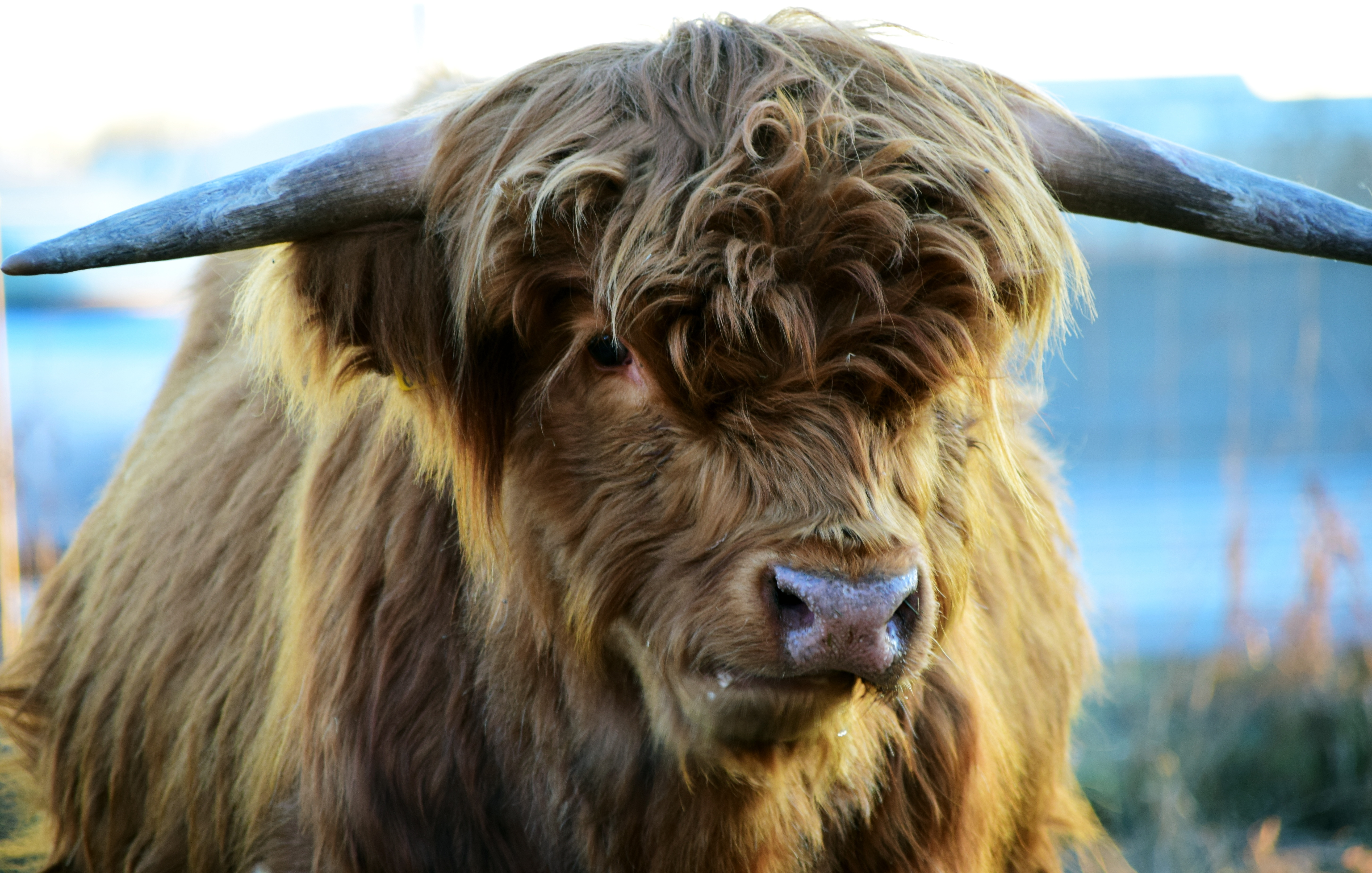 102117 download wallpaper Animals, Highland, Cow, Horns screensavers and pictures for free