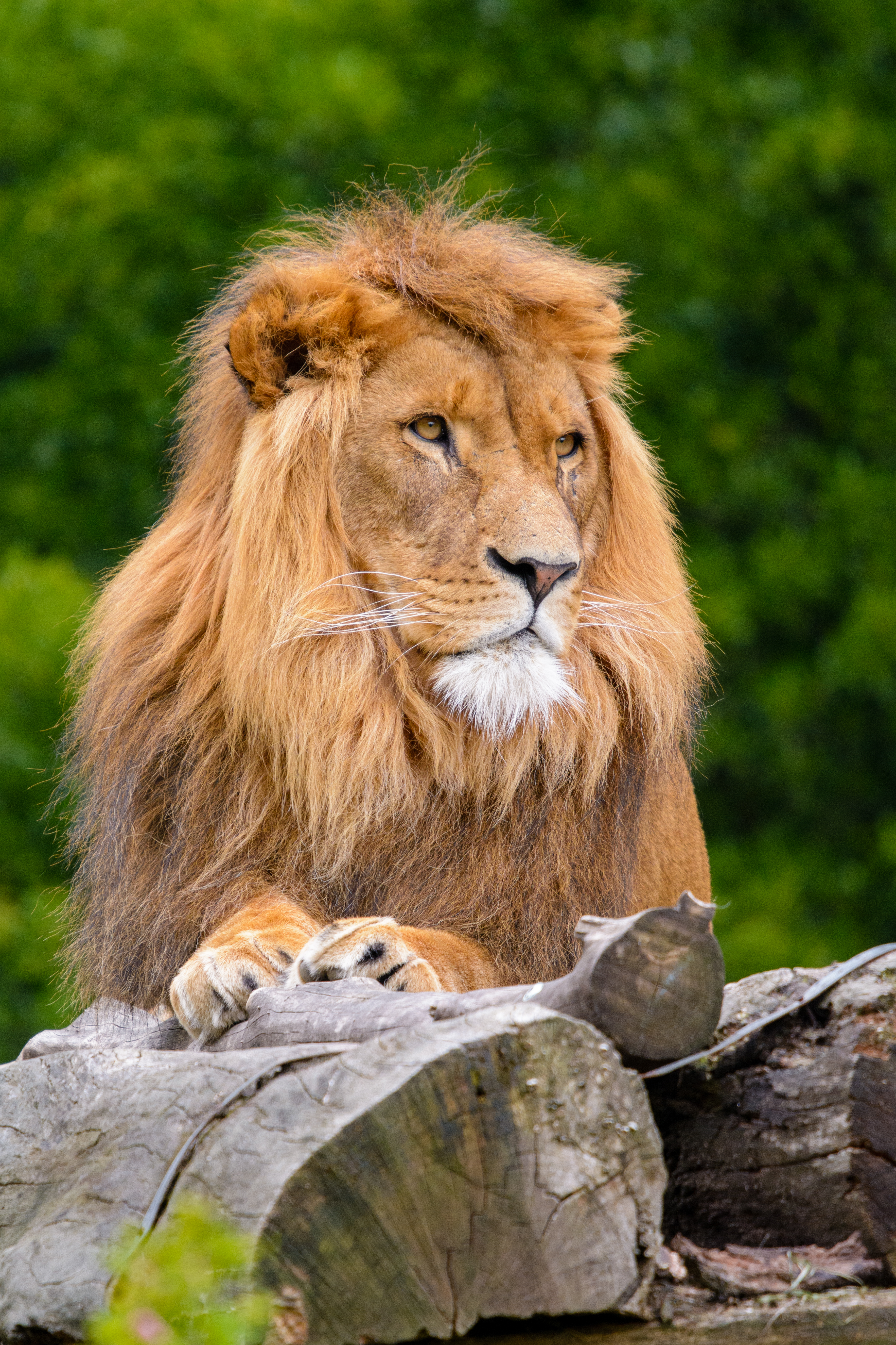 63384 baixar papel de parede Animais, Leão, Um Leão, Gato Grande, Rei Das Feras, Rei Das Bestas - protetores de tela e imagens gratuitamente
