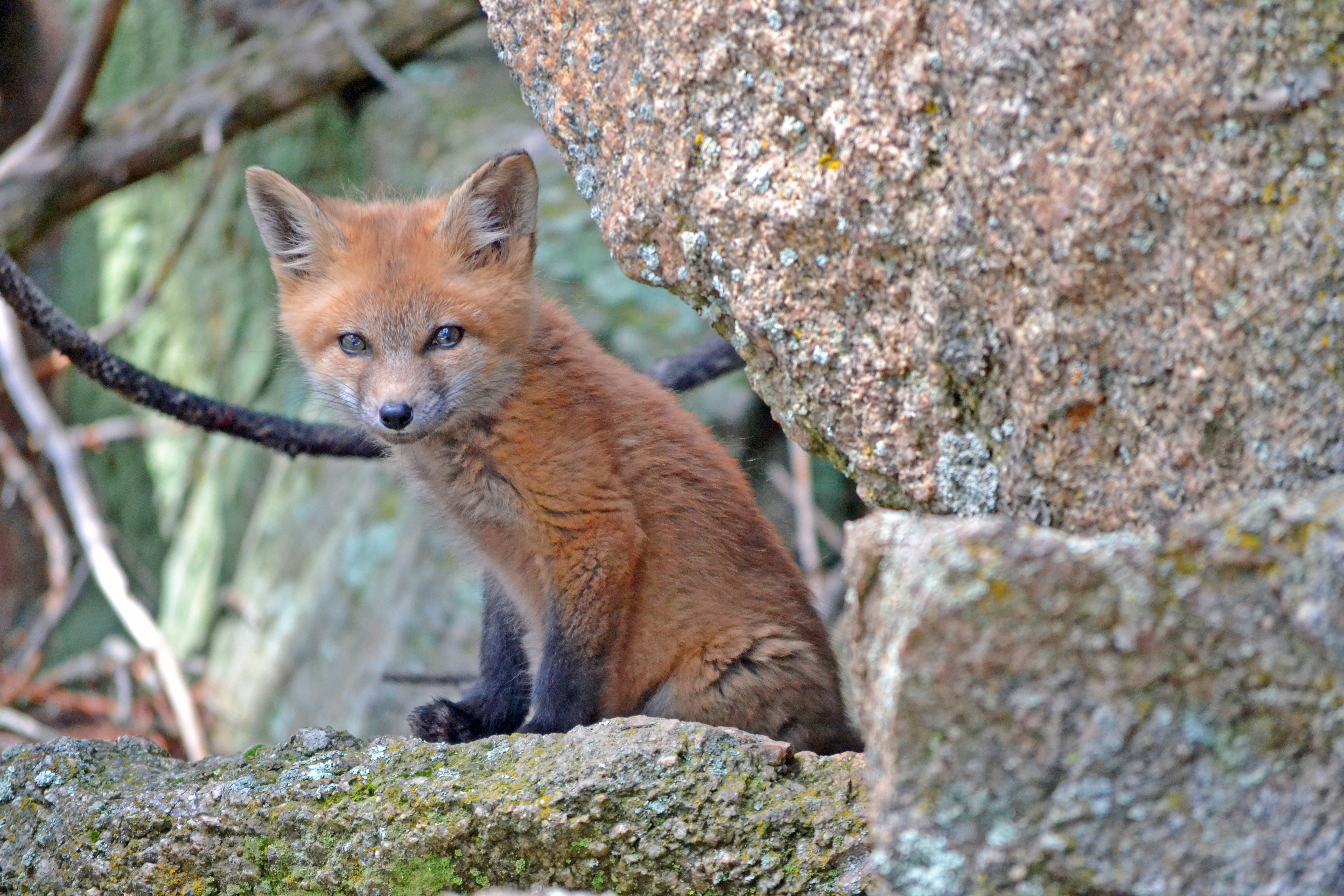 88595 Screensavers and Wallpapers Young for phone. Download Animals, Stones, Fox, Sit, Young, Moss, Kid, Tot, Joey pictures for free