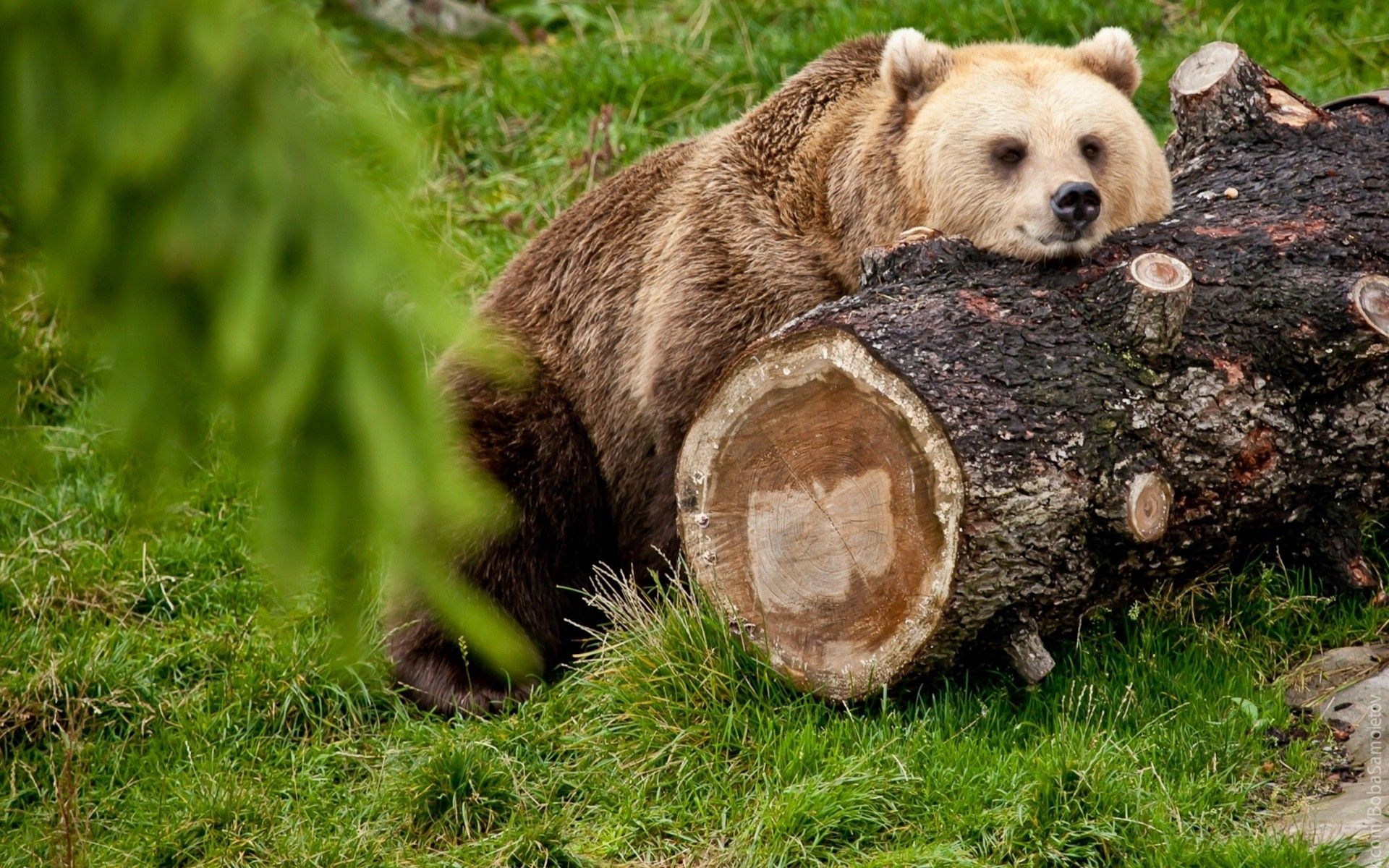 139631 download wallpaper Animals, Bear, Log, To Lie Down, Lie, Relaxation, Rest screensavers and pictures for free