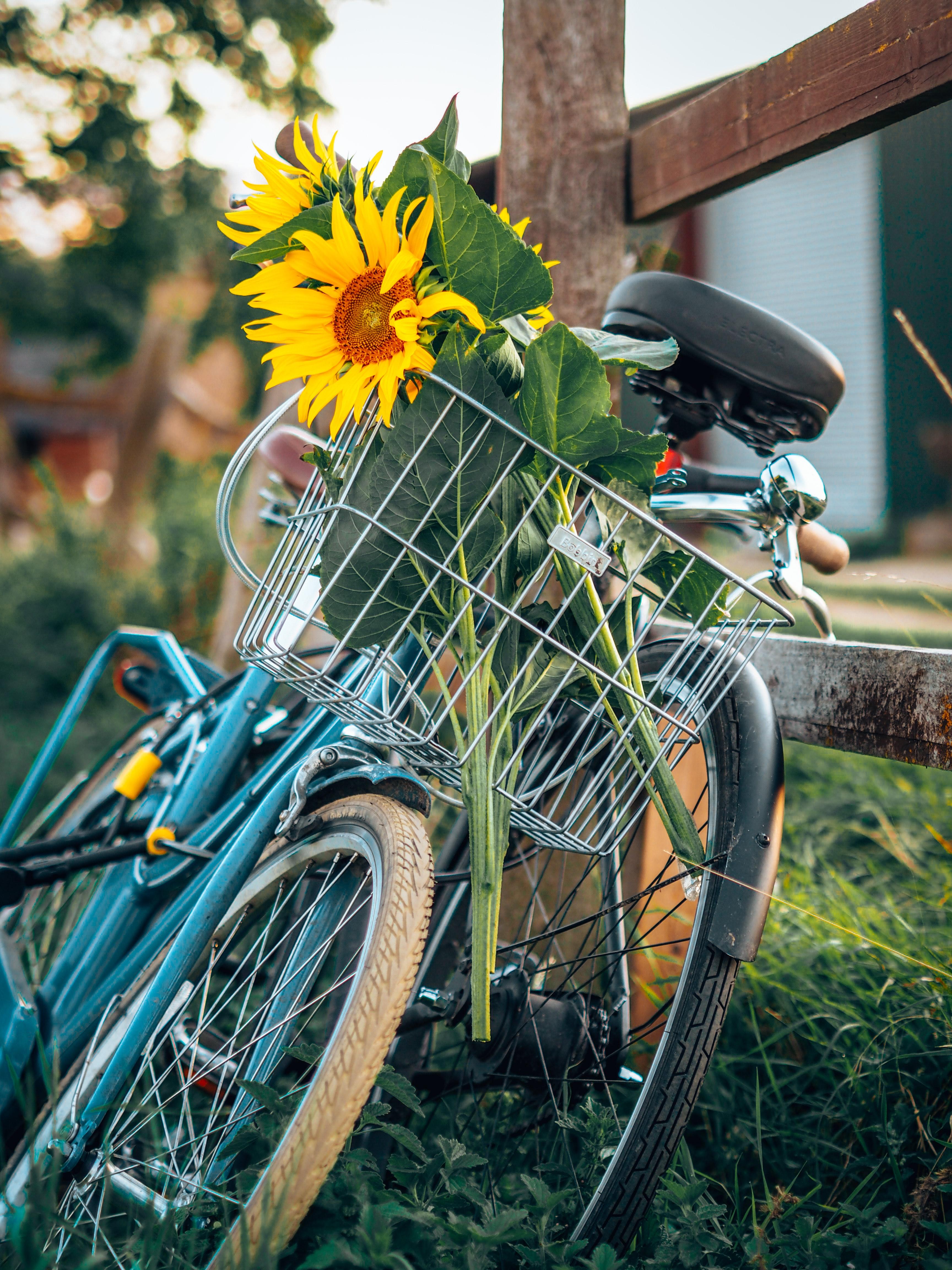 72856 Заставки и Обои Подсолнухи на телефон. Скачать Разное, Велосипед, Корзина, Цветы, Подсолнухи картинки бесплатно