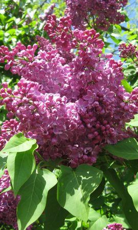 40824 descargar fondo de pantalla Plantas, Flores, Lila: protectores de pantalla e imágenes gratis