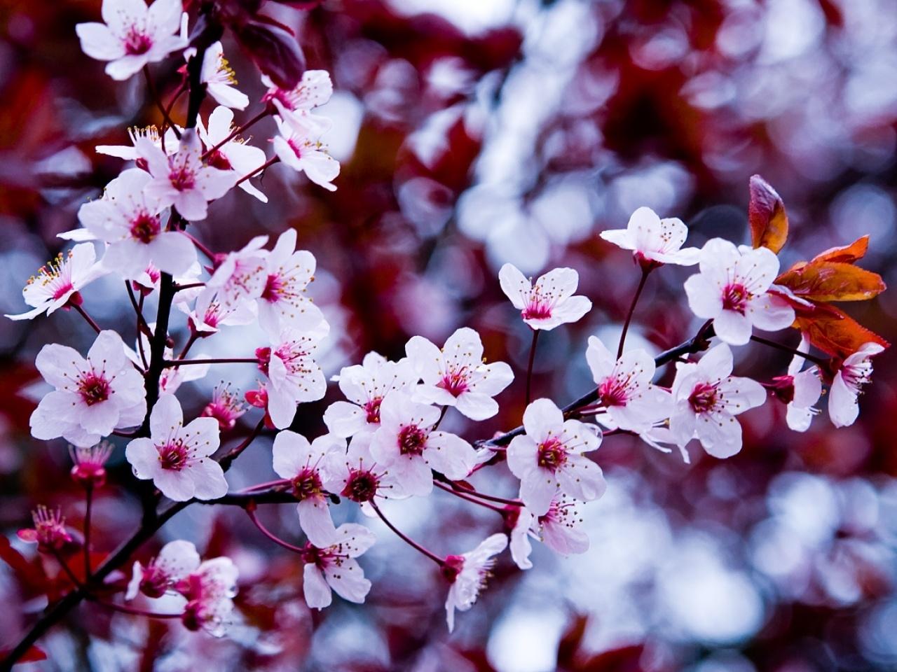 23503 descargar fondo de pantalla Plantas, Flores, Árboles, Sakura: protectores de pantalla e imágenes gratis