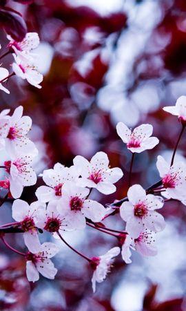 23503 скачать обои Растения, Цветы, Деревья, Сакура - заставки и картинки бесплатно