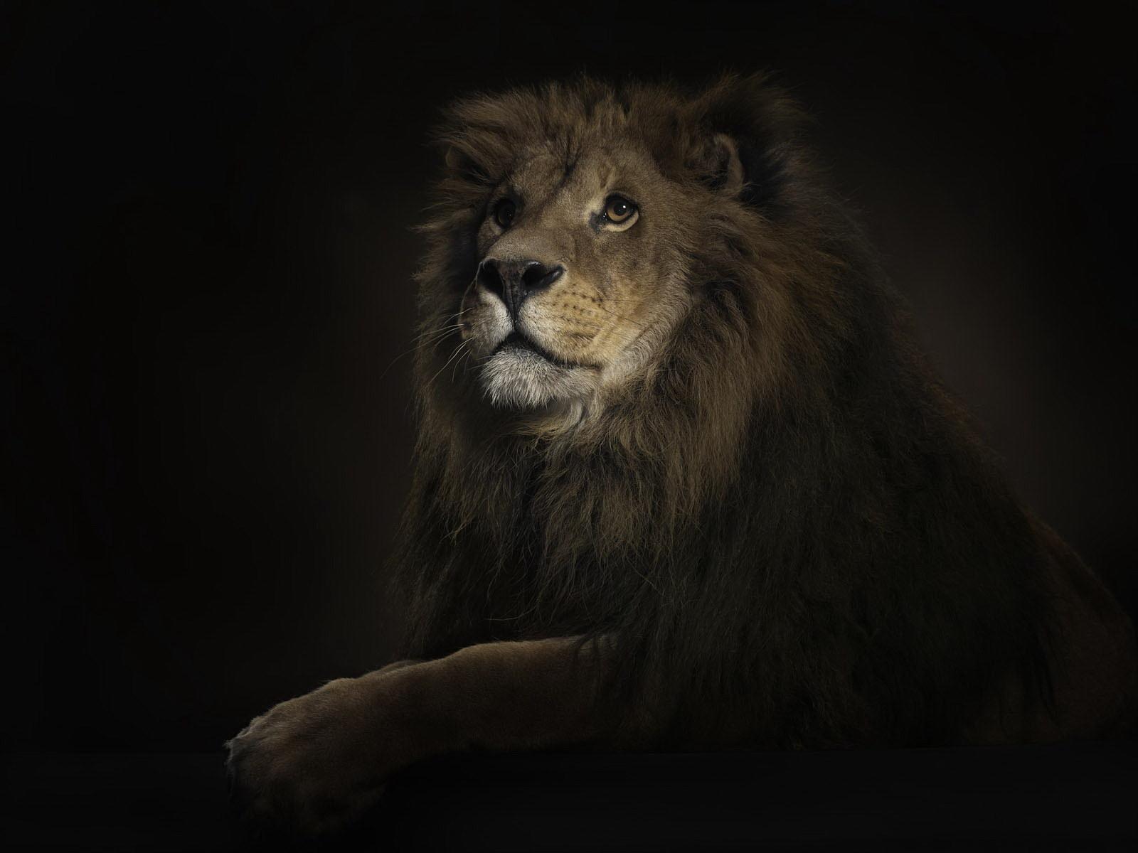 11322 Hintergrundbild herunterladen Tiere, Fotokunst, Lions - Bildschirmschoner und Bilder kostenlos