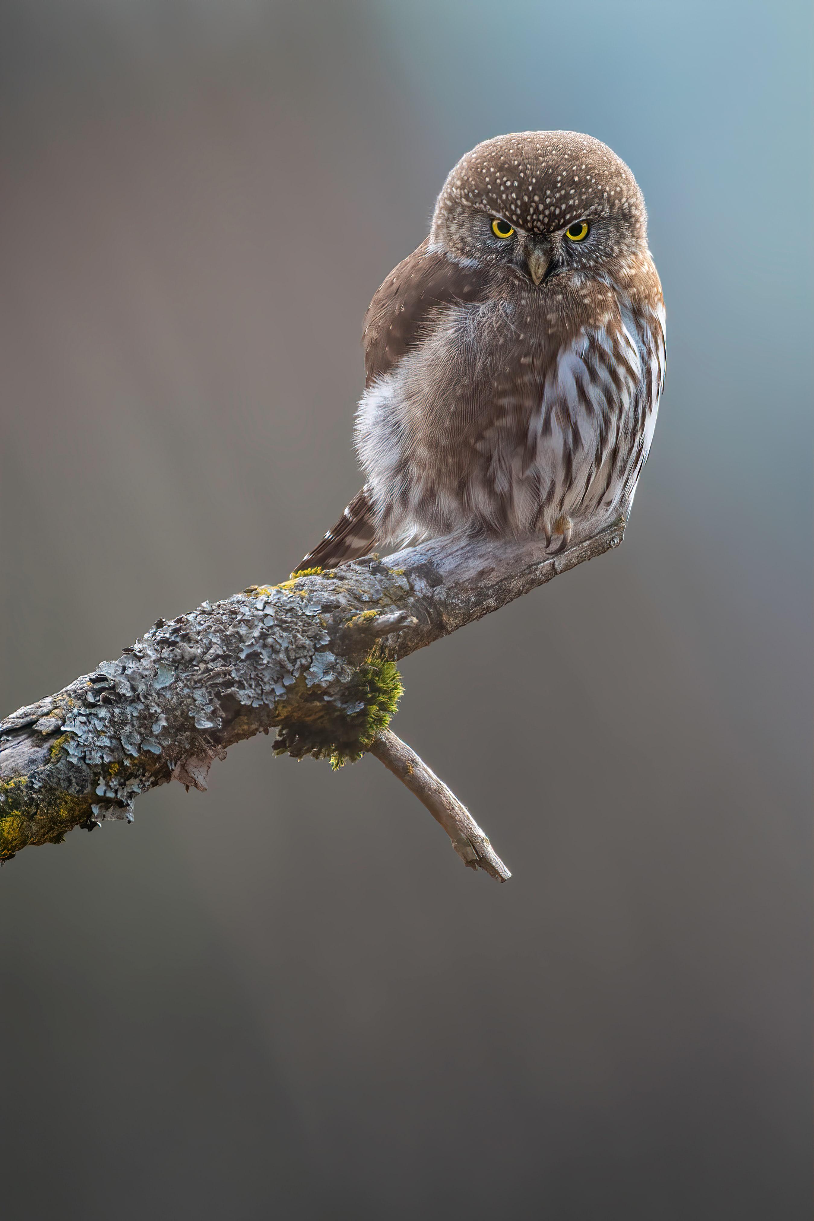 124779 Hintergrundbild herunterladen Eule, Tiere, Feder, Vogel, Schnabel - Bildschirmschoner und Bilder kostenlos