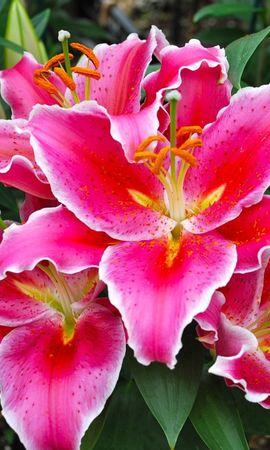 146236 скачать обои Цветы, Лилии, Клумба, Зелень - заставки и картинки бесплатно
