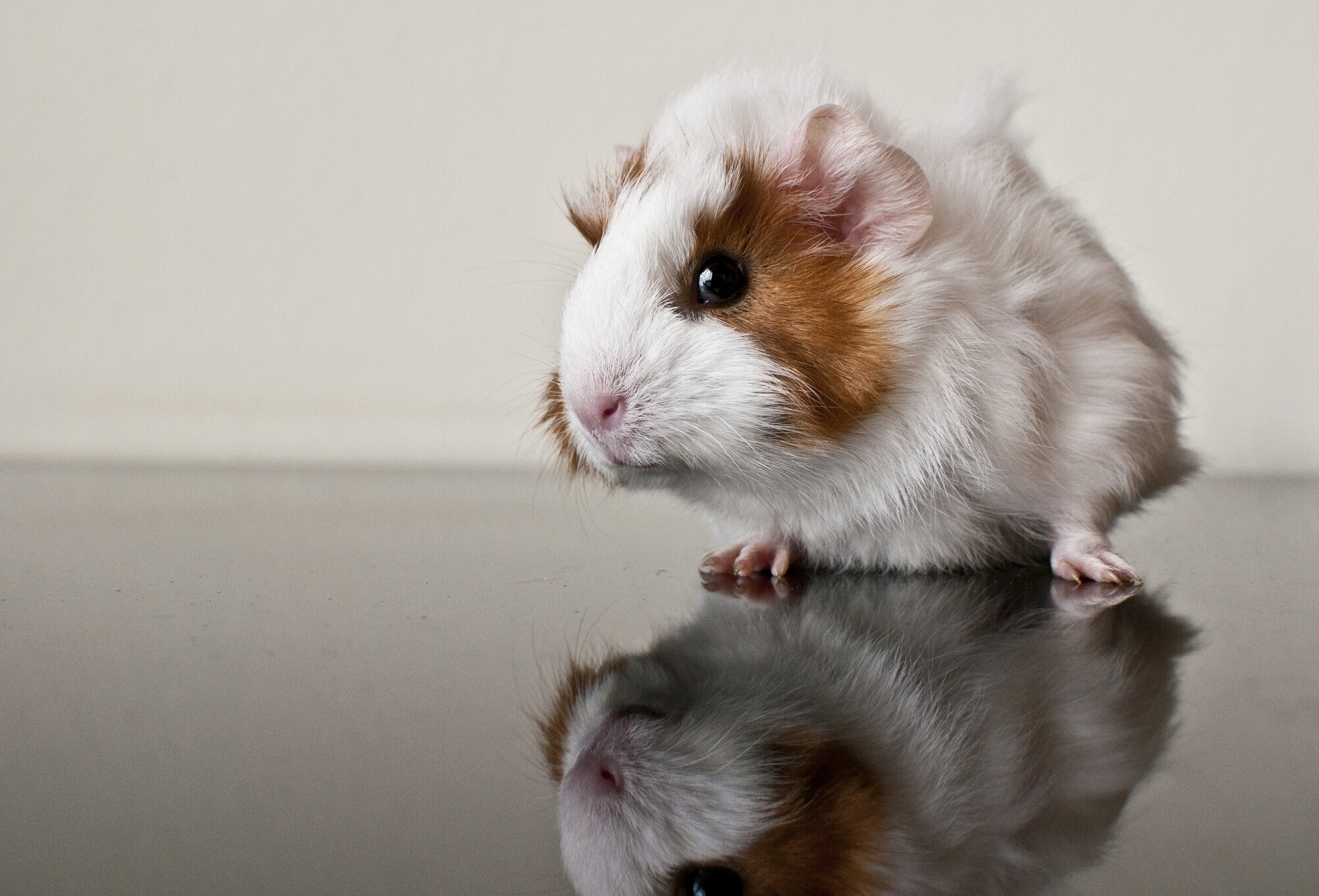 88773 download wallpaper Animals, Guinea Pig, Reflection, Rodent screensavers and pictures for free