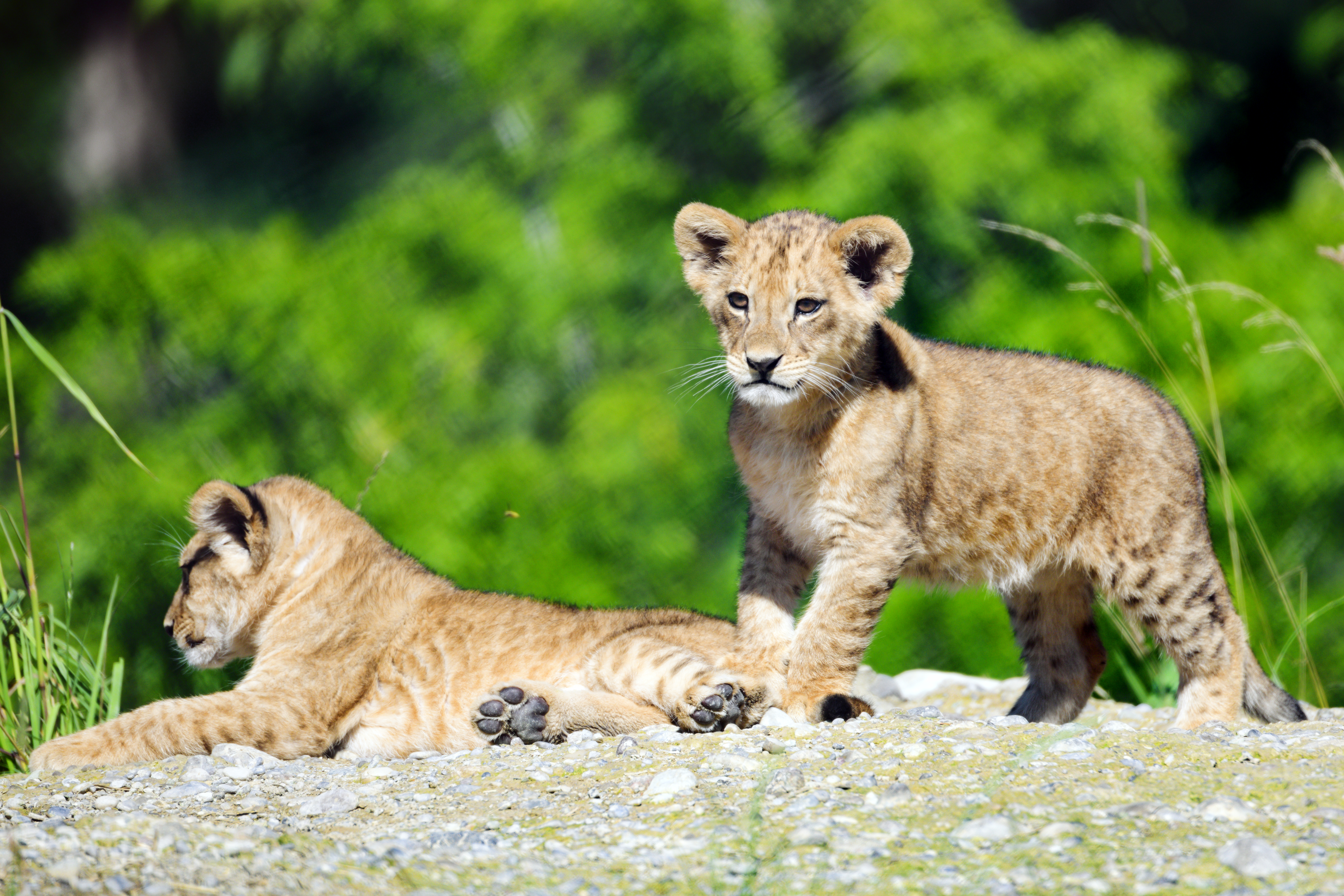 66471 download wallpaper Animals, Lion Cub, Lion, Young, Joey, Nice, Sweetheart, Wildlife screensavers and pictures for free