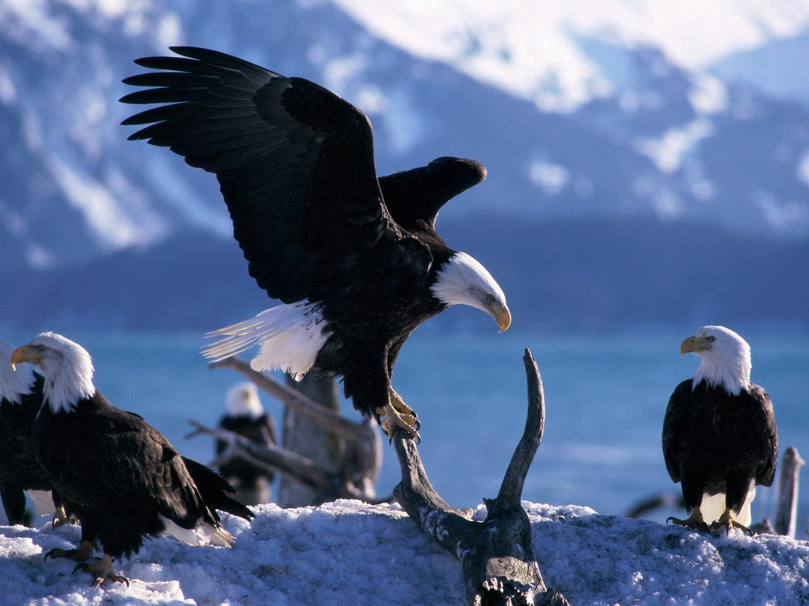 106625 Screensavers and Wallpapers Predators for phone. Download Animals, Birds, Predators, Flight, Eagle, Wave, Sweep pictures for free