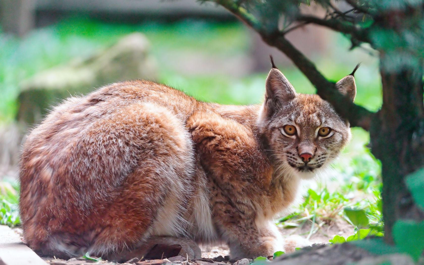32194 download wallpaper Animals, Bobcats screensavers and pictures for free