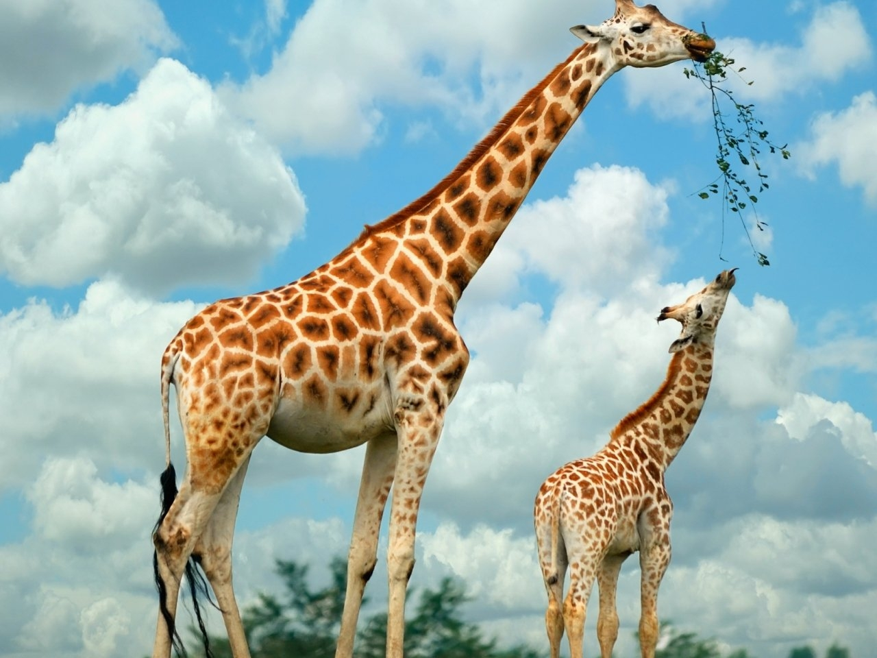 33778 download wallpaper Animals, Giraffes screensavers and pictures for free