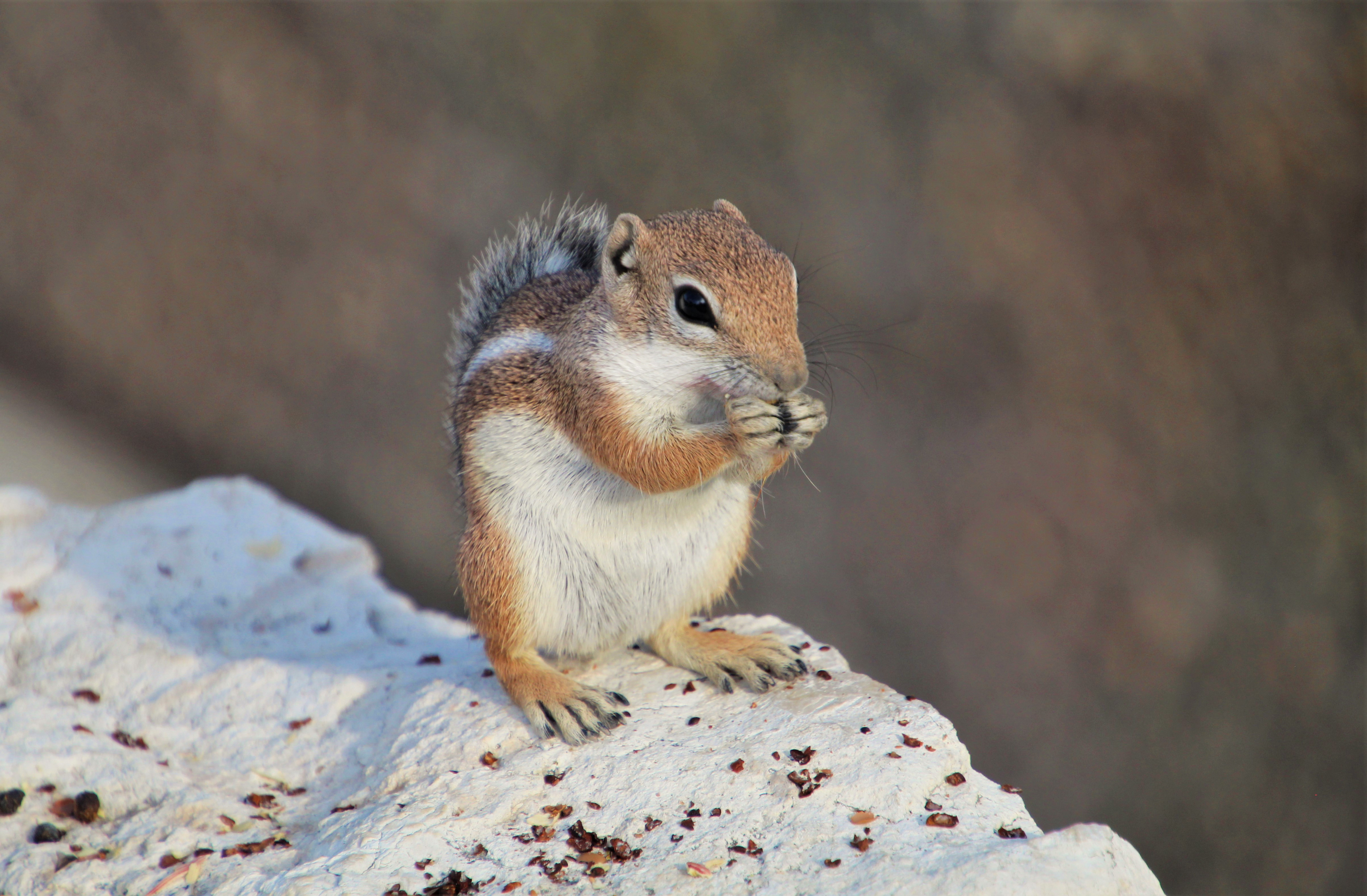 59739 download wallpaper Animals, Chipmunk, Rodent, Fluffy, Animal, Rock, Stone screensavers and pictures for free