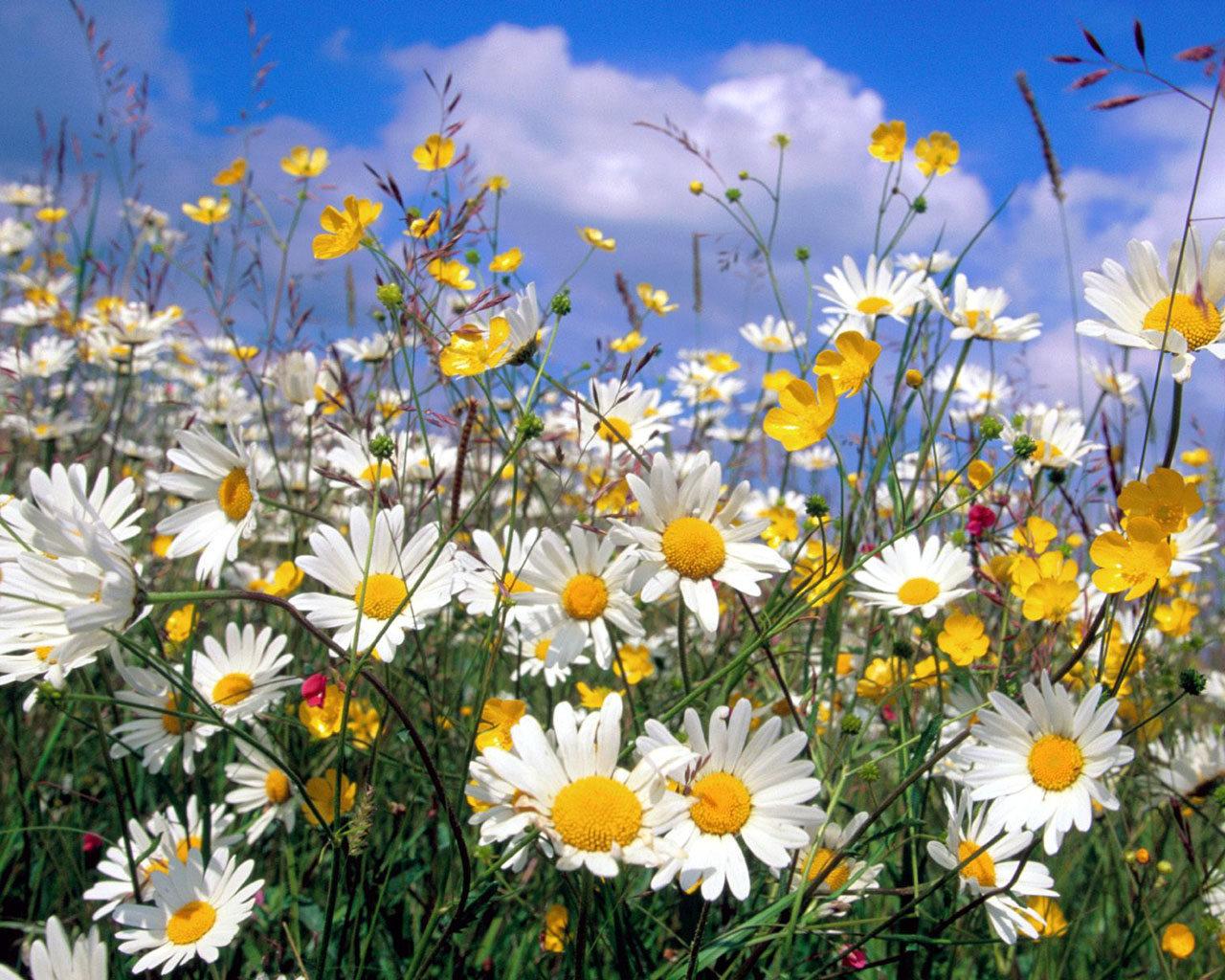 11317 Hintergrundbild herunterladen Pflanzen, Blumen, Kamille - Bildschirmschoner und Bilder kostenlos