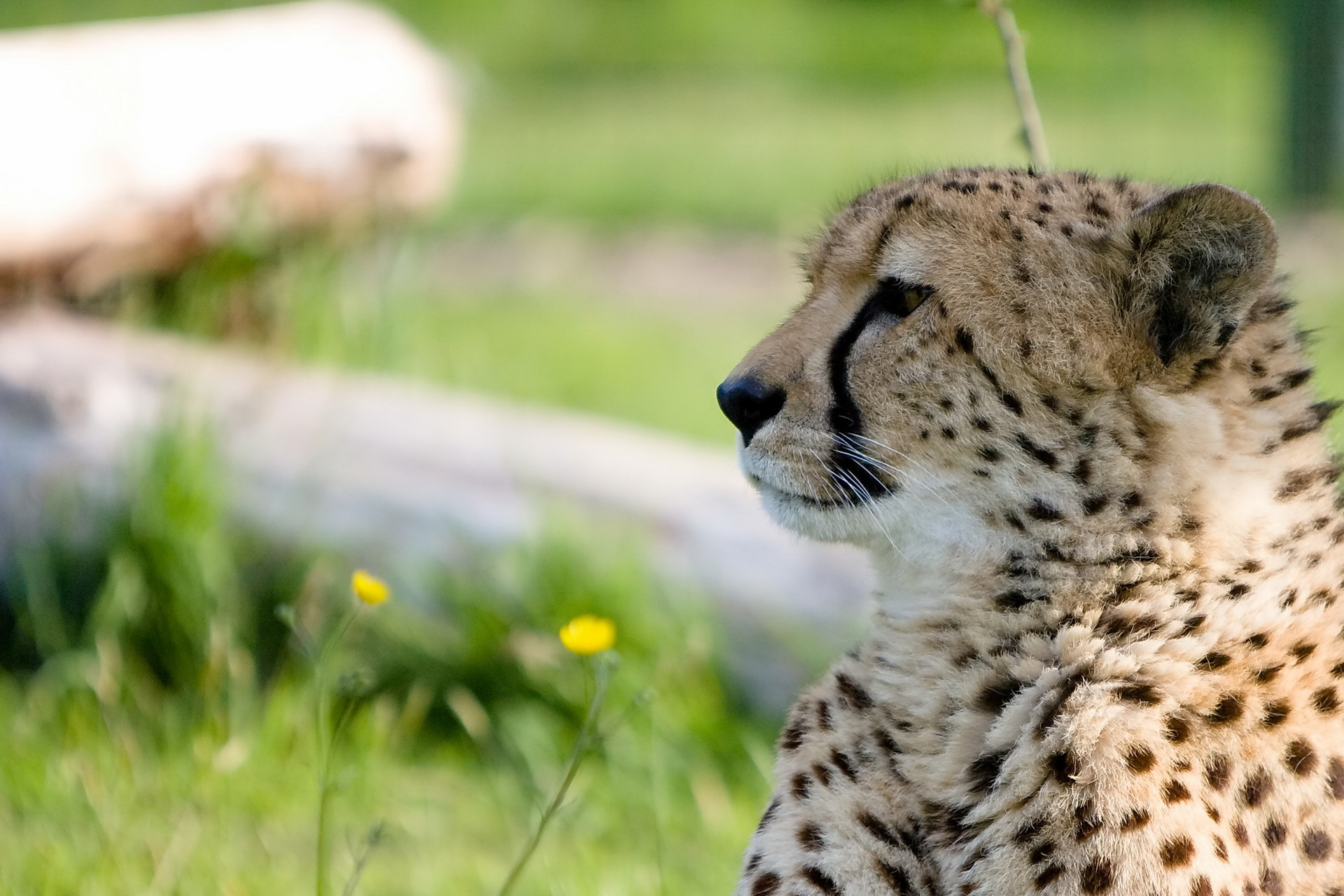 54400 download wallpaper Animals, Cheetah, Muzzle, Predator, Big Cat, Profile screensavers and pictures for free