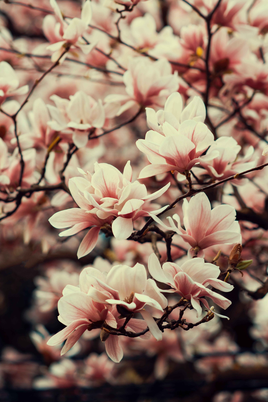123825 Hintergrundbild herunterladen Blumen, Pflanze, Geäst, Zweige, Blühen, Blühenden, Frühling, Magnolie, Magnolia - Bildschirmschoner und Bilder kostenlos